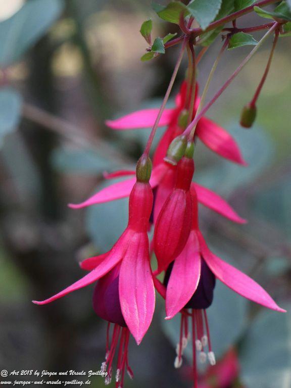 Fuchsien (Fuchsia) winterhart