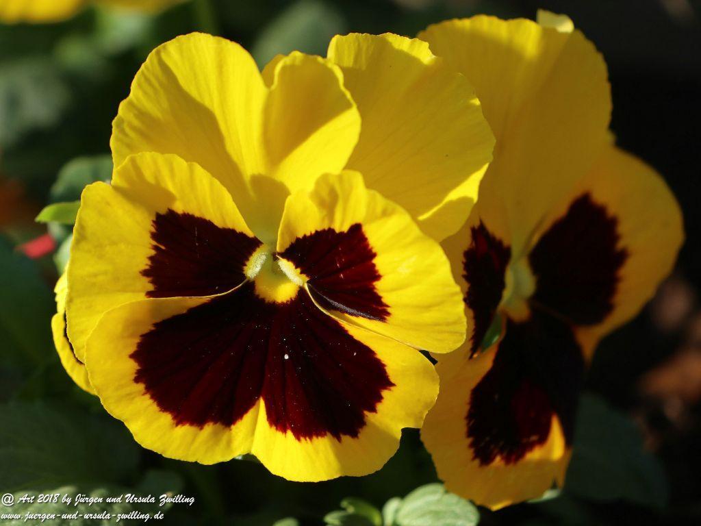 Stiefmütterchen (Viola wittrockiana)