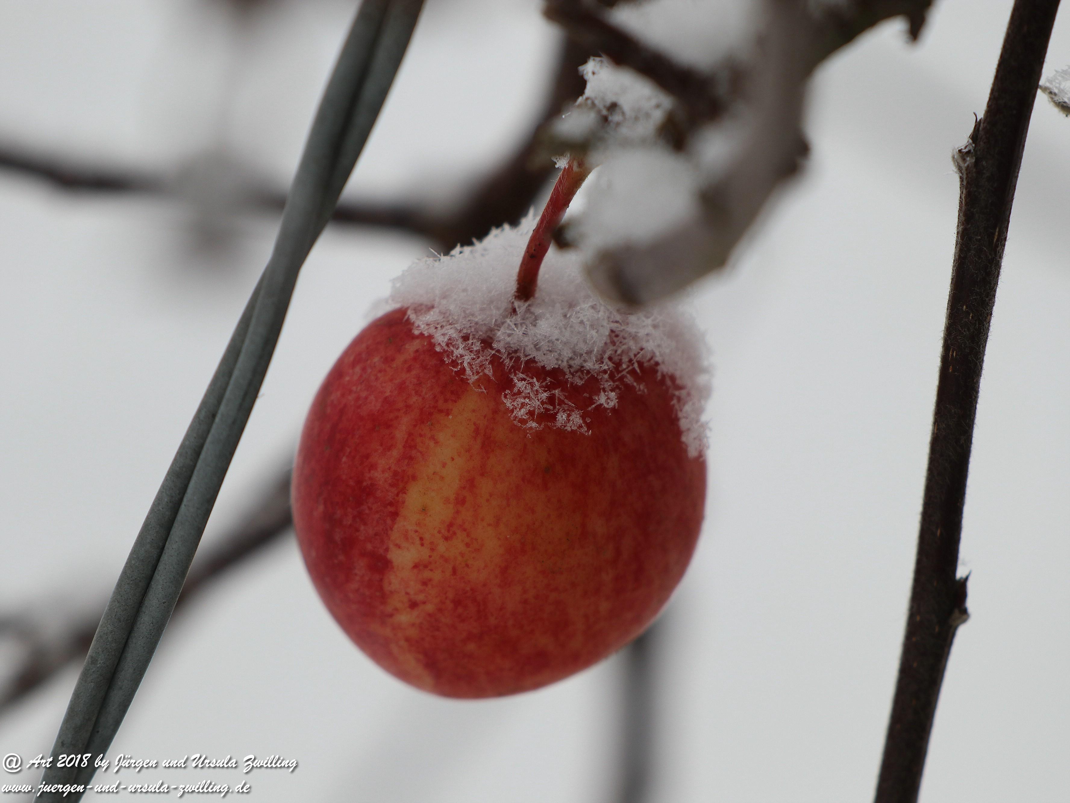Winterapfel 1