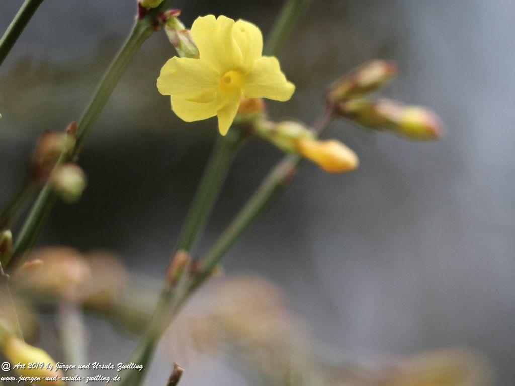 Winter-Jasmin (Jasminum nudiflorum, Syn. Jasminum sieboldianum Blume)