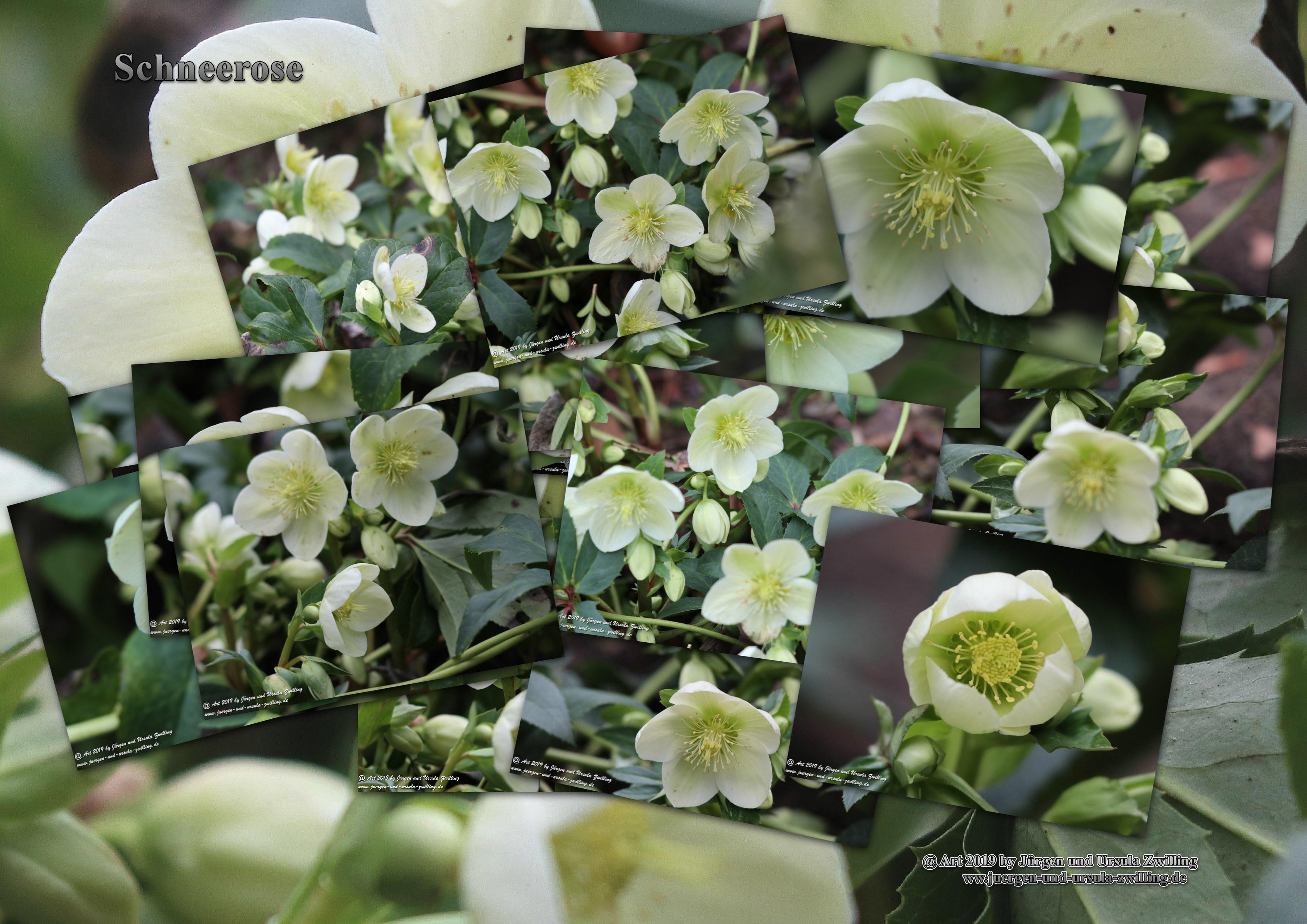 Schneerose, Christrose oder Weihnachtsrose (Helleborus niger)