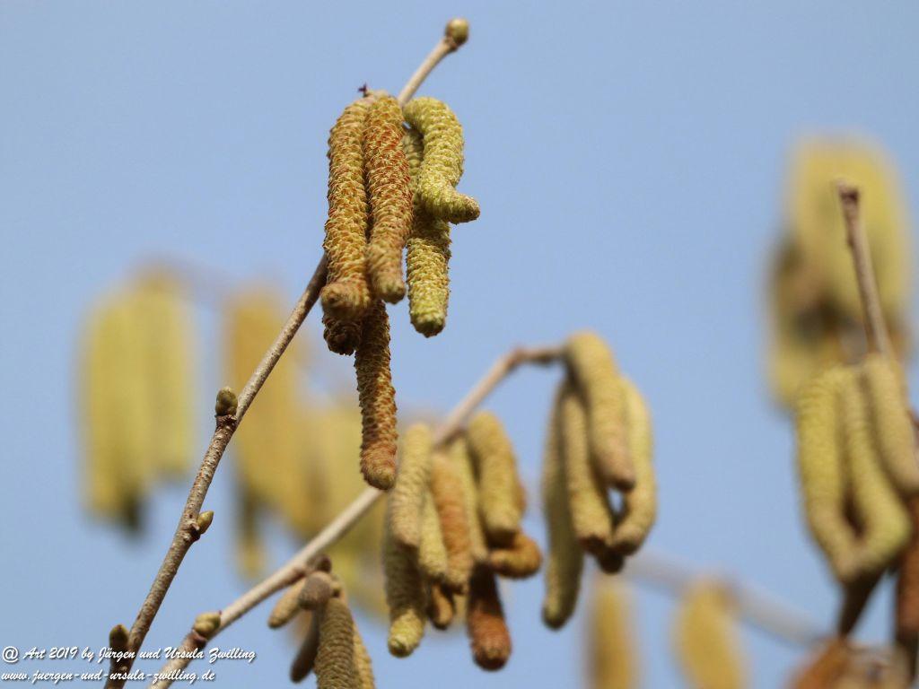 Haselnussblüte Mainz - Rheinhessen