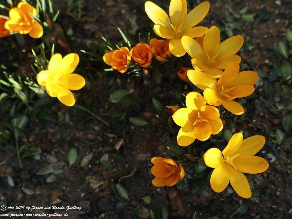 Frühlingsboten im Garten - Krokusse -Schneeglöckchen - Primeln