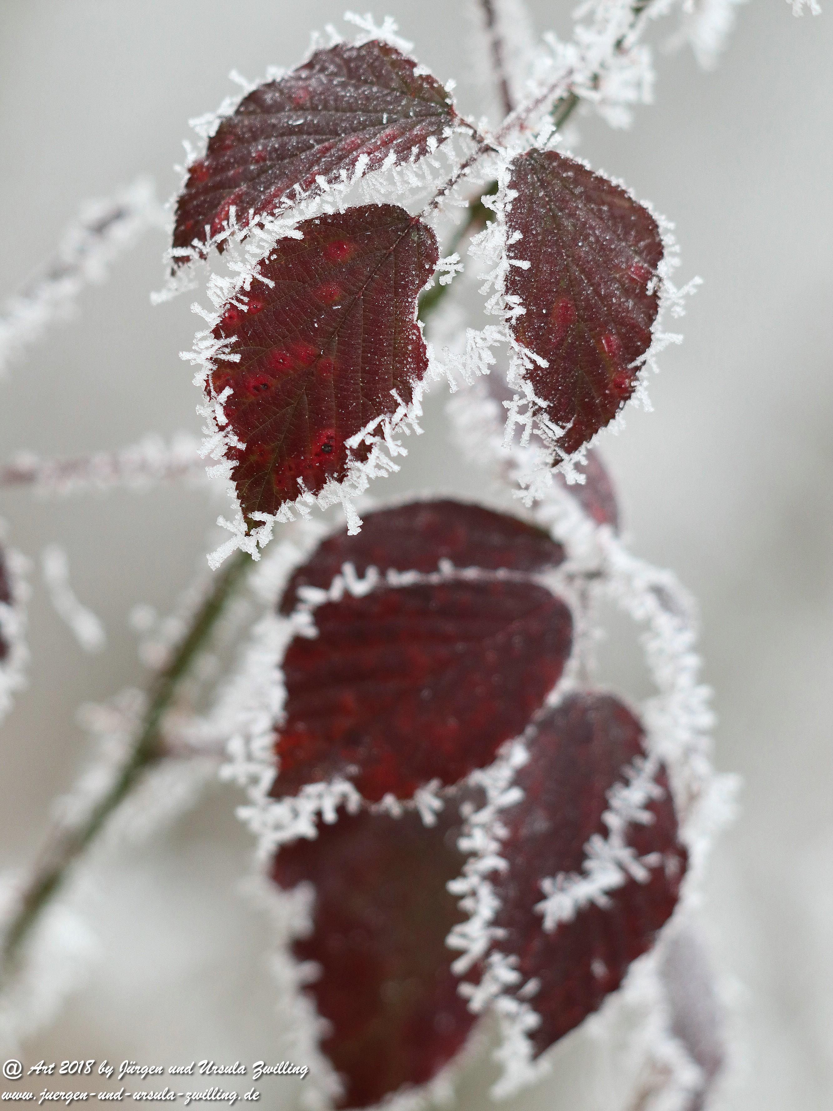 Frostblatt 8