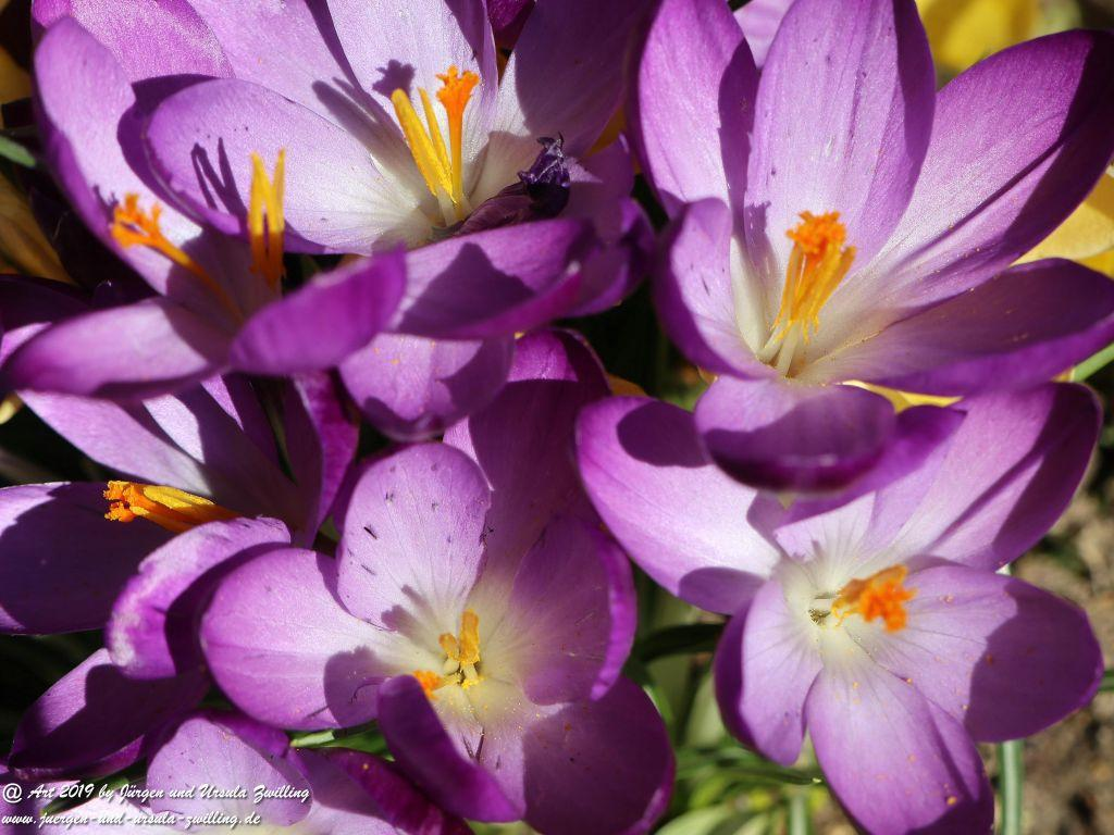 Frühling - Krokusse - Schneeglöckchen