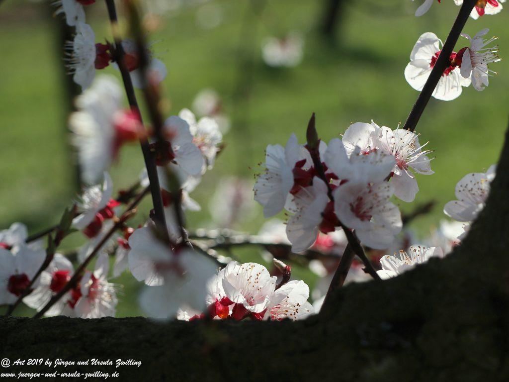 Aprikosenblüte in Rheinhessen