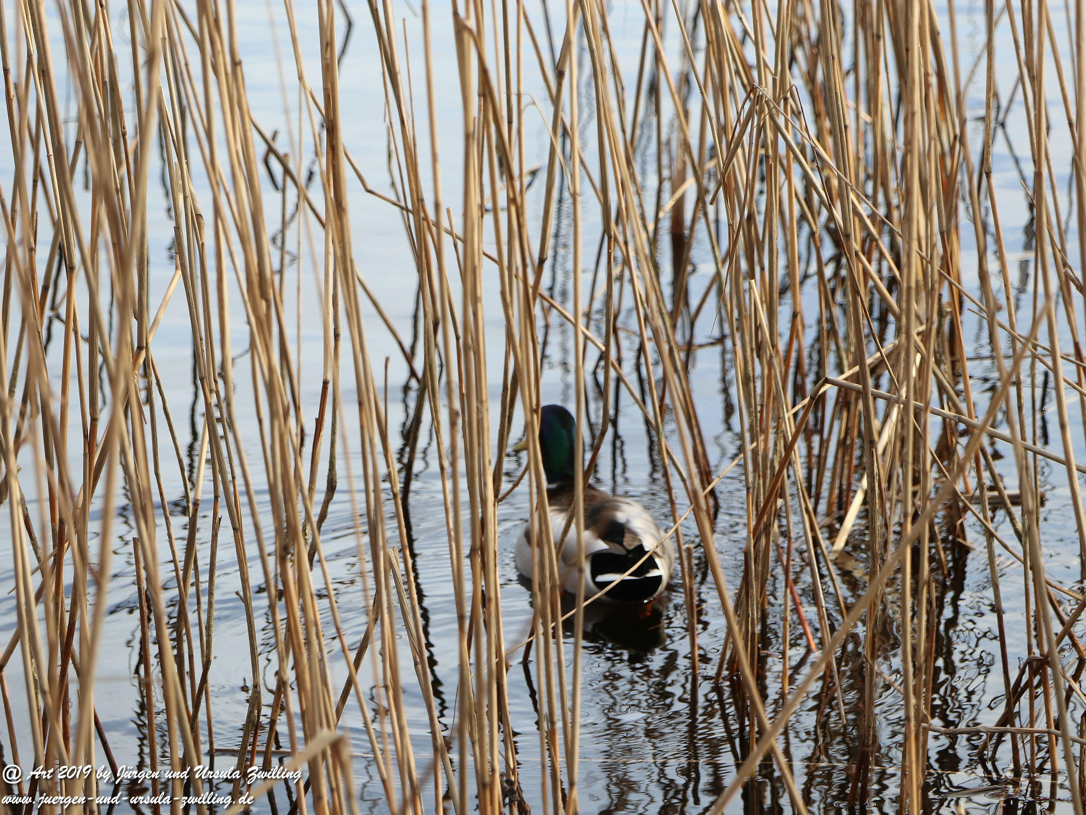 Darßer März Ente