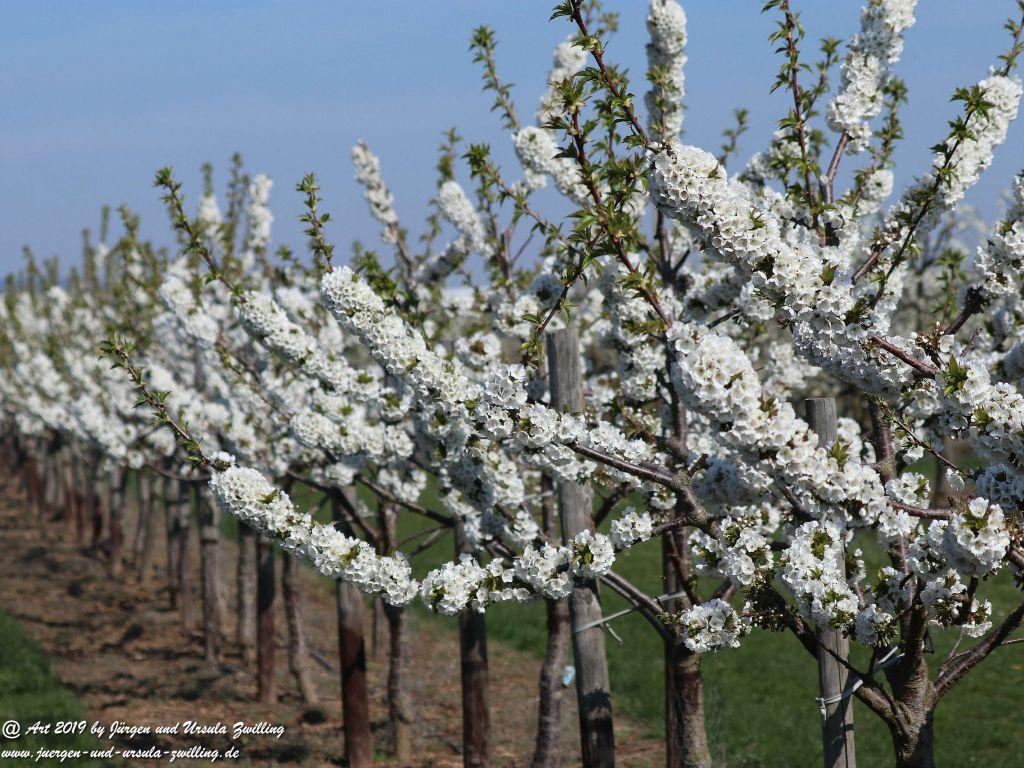 Kirschbaumblüte in Mainz Finthen - Rheinhessen
