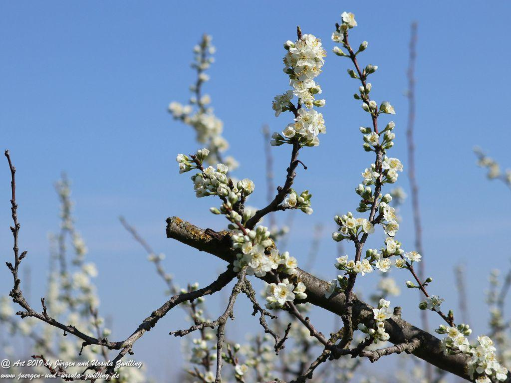 Pflaumenbaumblüte  in Mainz Finthen - Rheinhessen