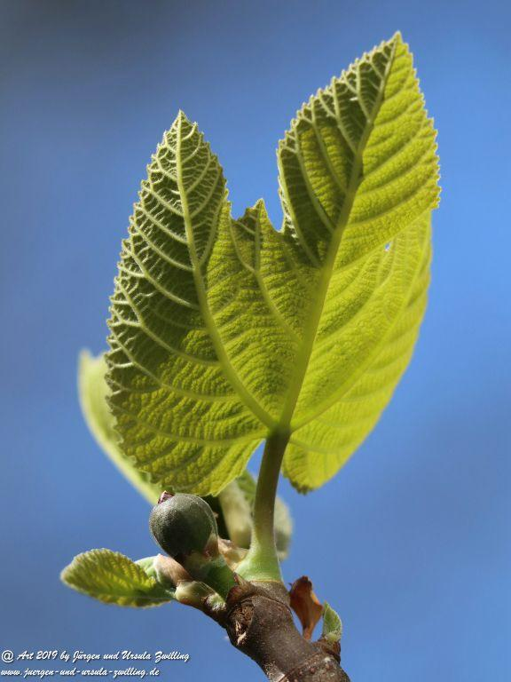 Echte Feige (Ficus carica)