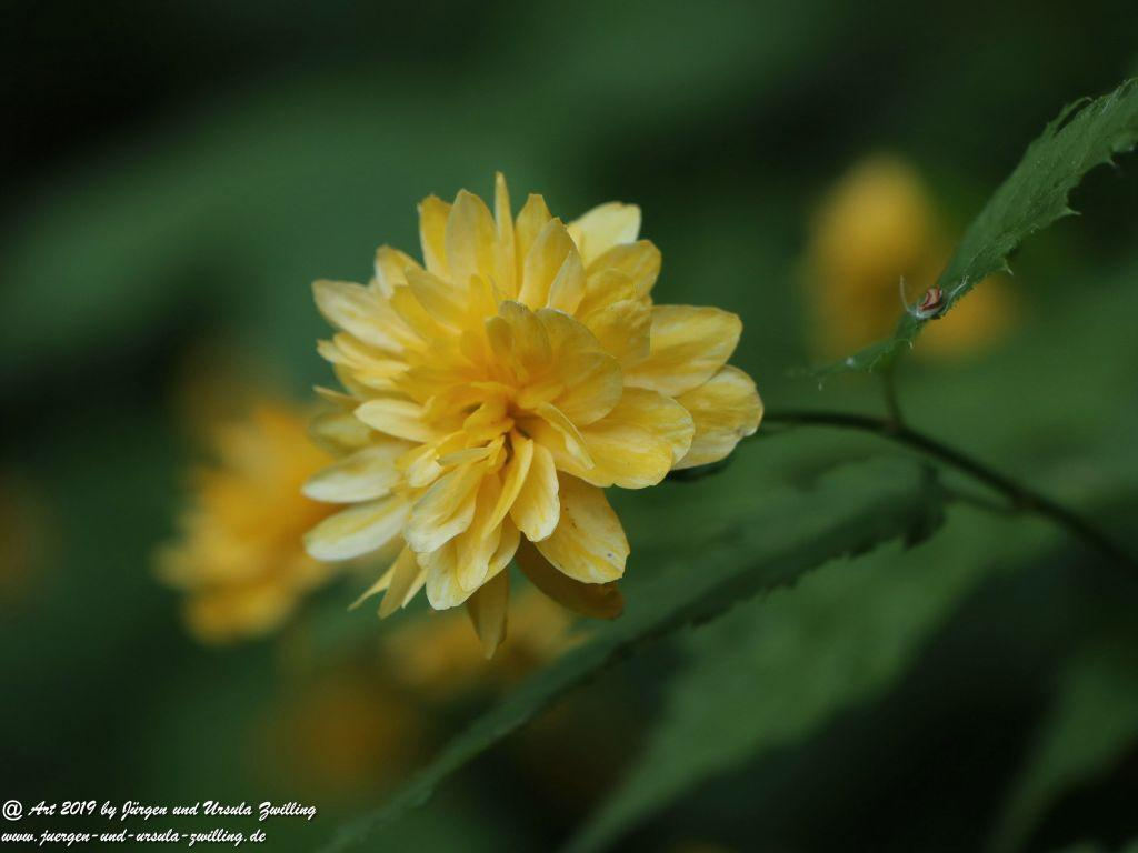 Japanische Kerrie (Kerria japonica)