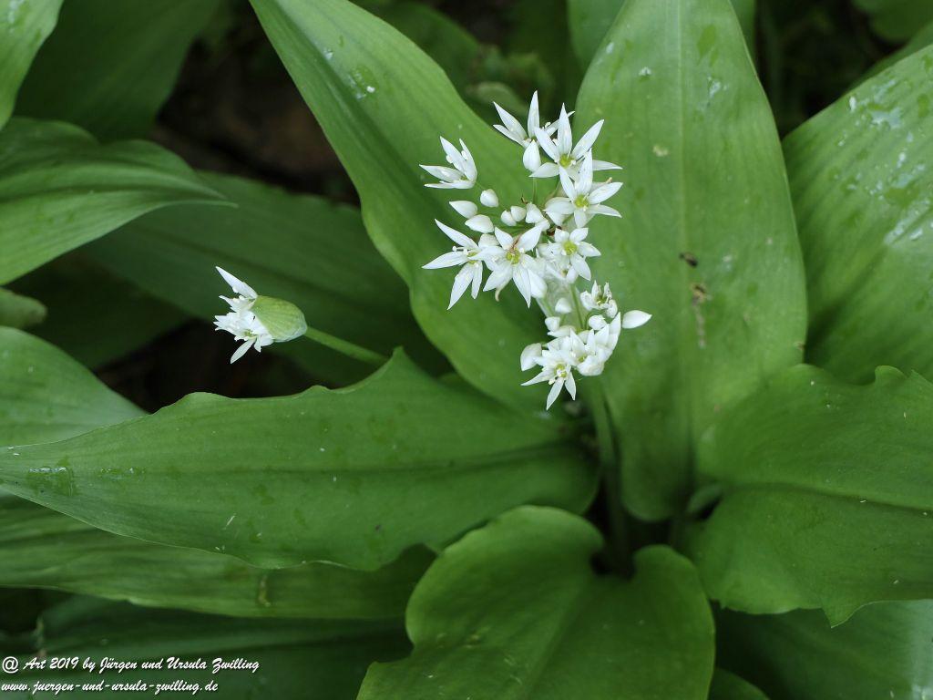 Bärlauch (Allium ursinum)