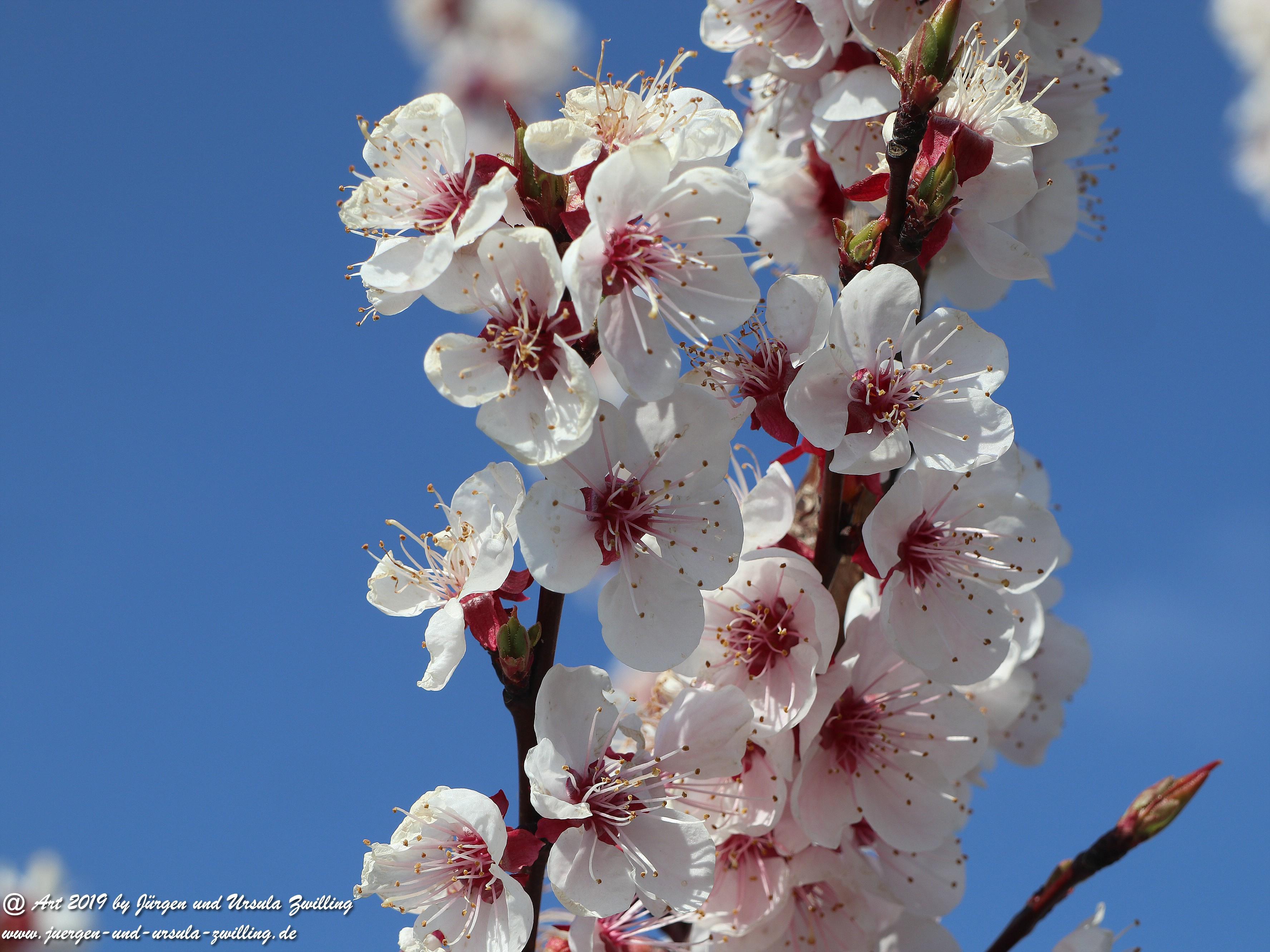 Aprikosenblüten 3