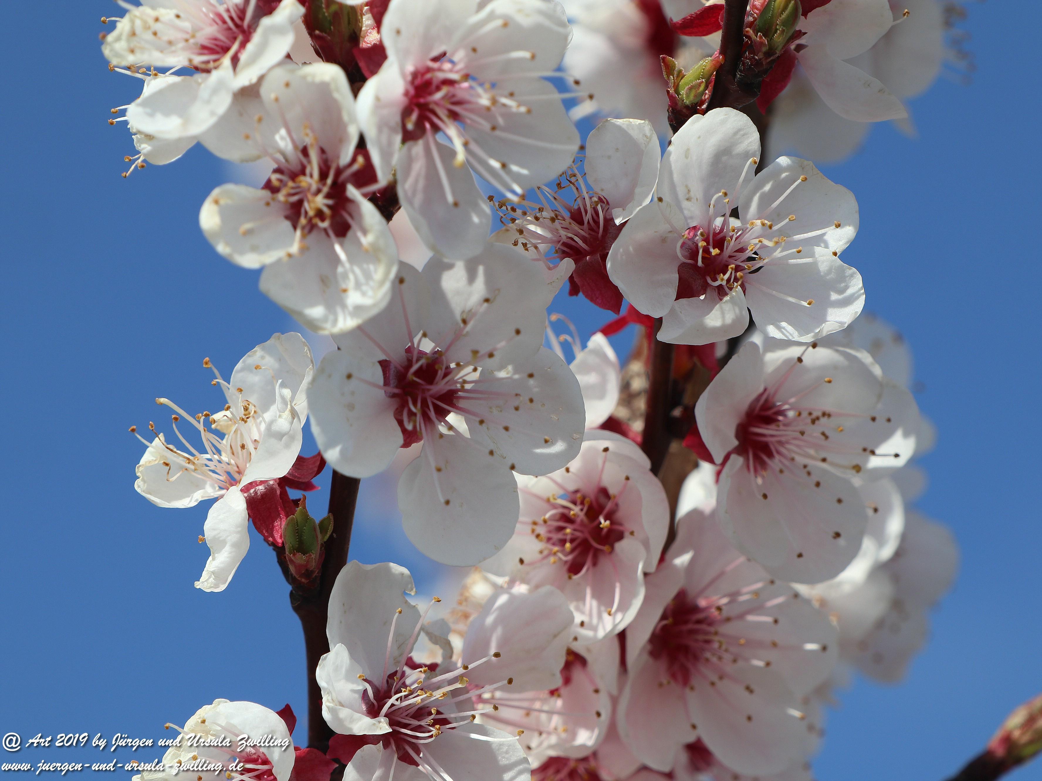 Aprikosenblüten 4