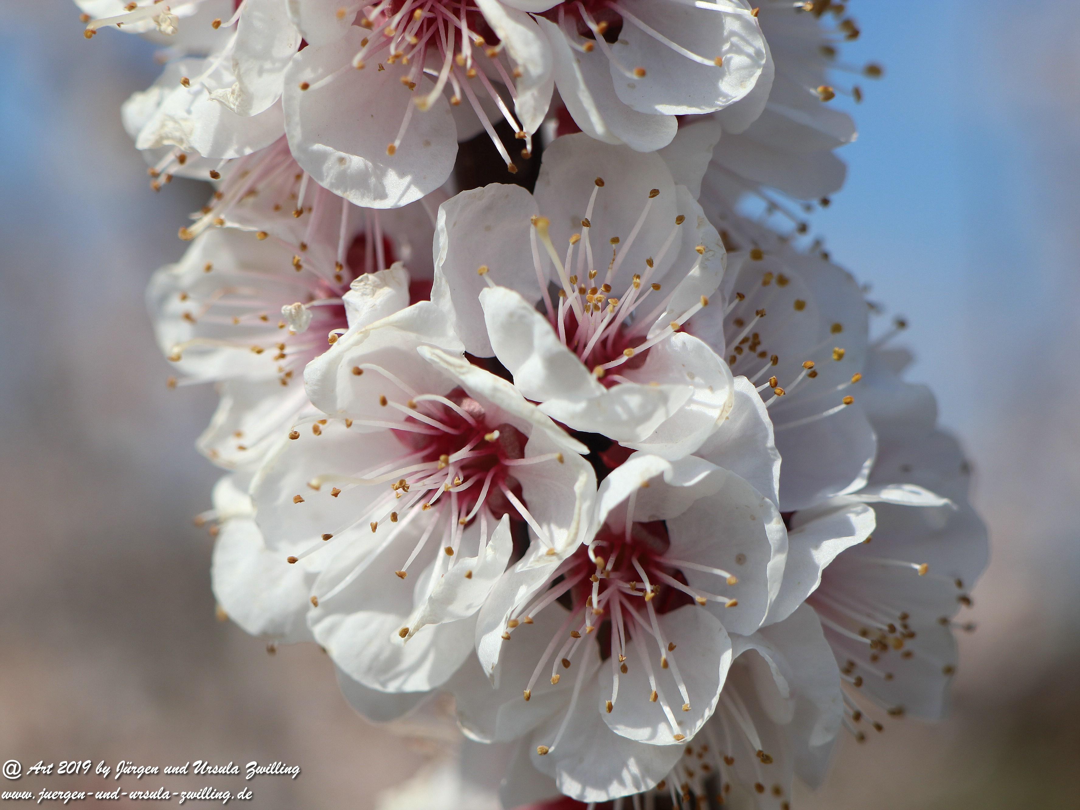 Aprikosenblüten 5