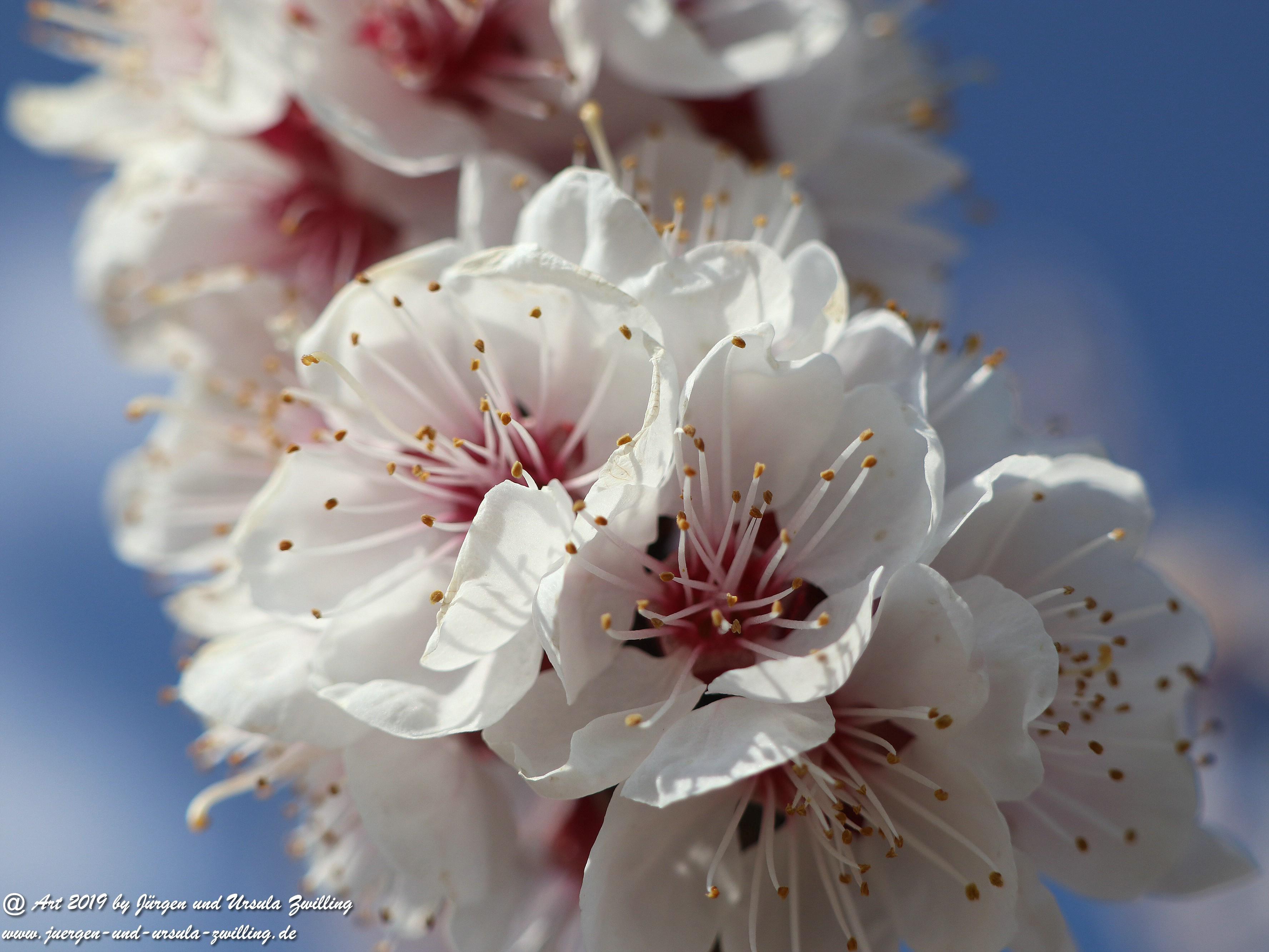 Aprikosenblüten 6