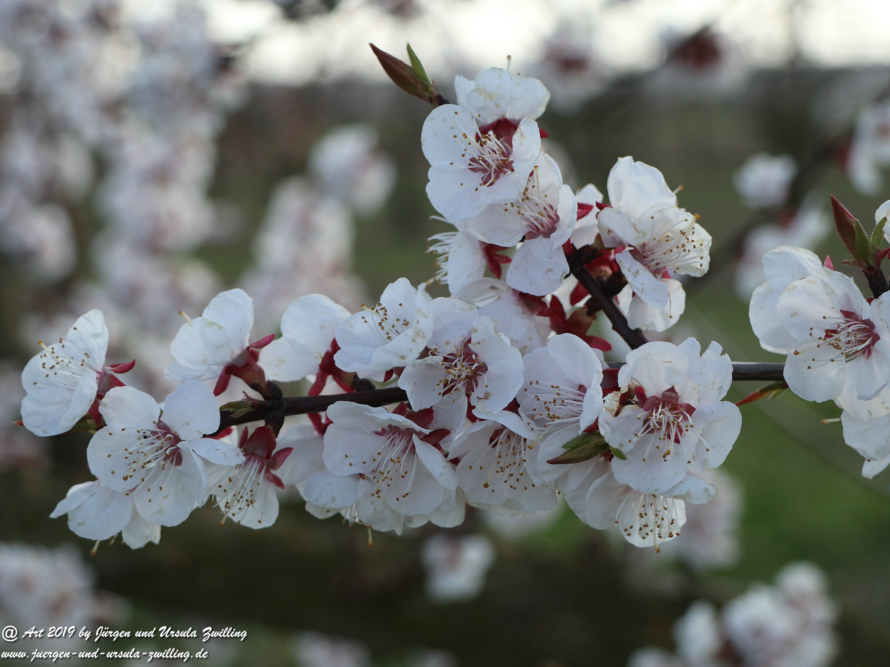 Aprikosenblüten 7