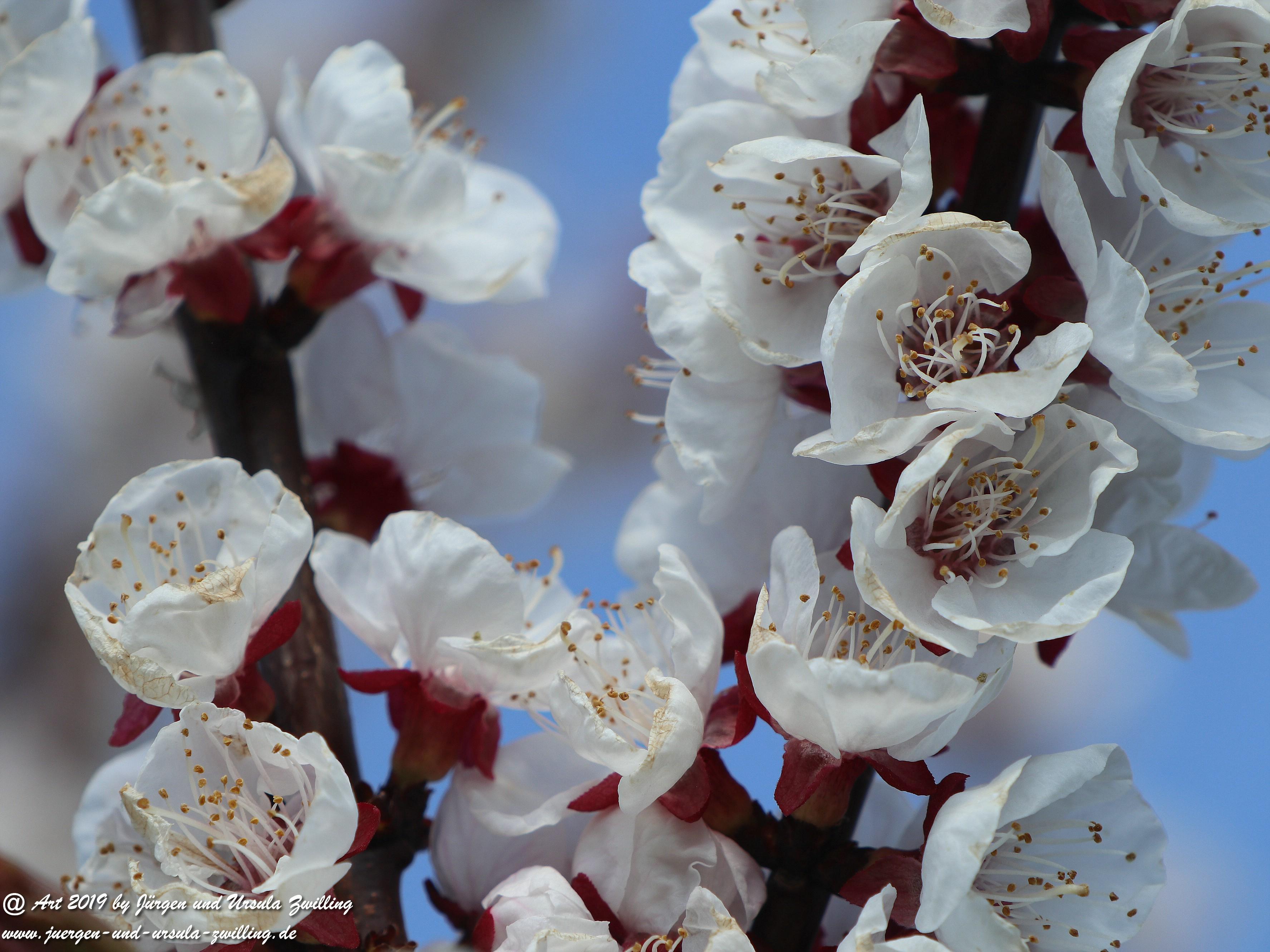 Aprikosenblüten 8