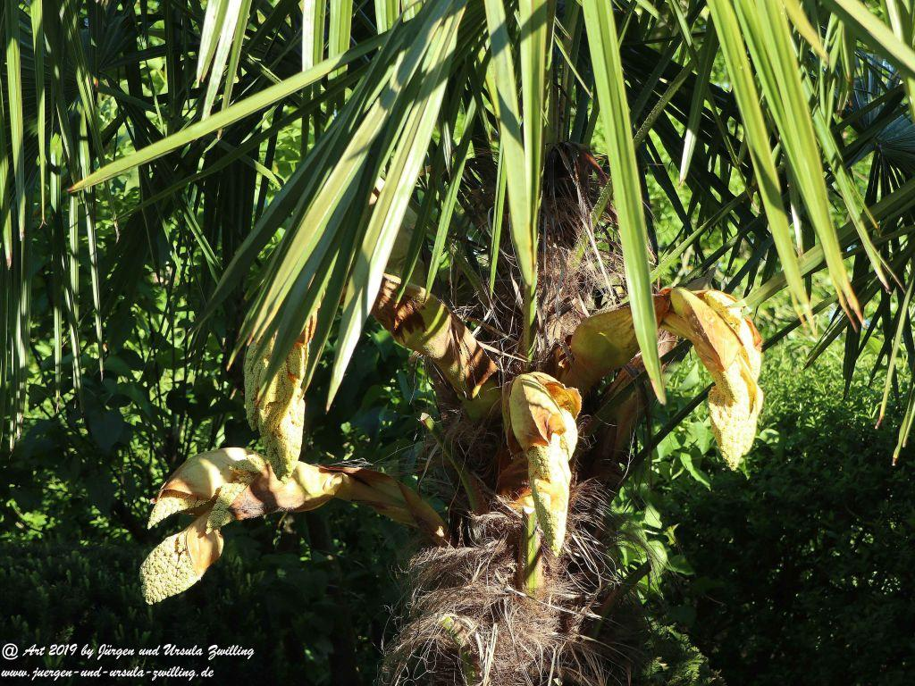 Blütenstart der Dattelpalme