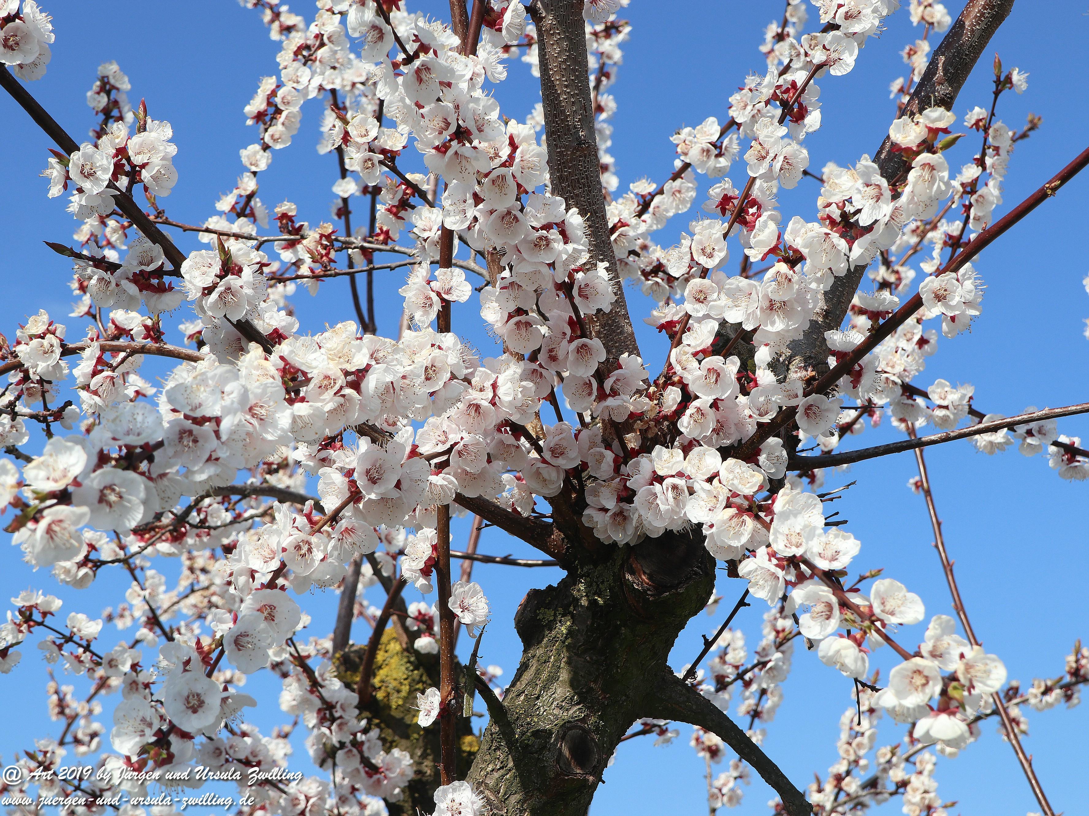 Aprikosenblüten 11