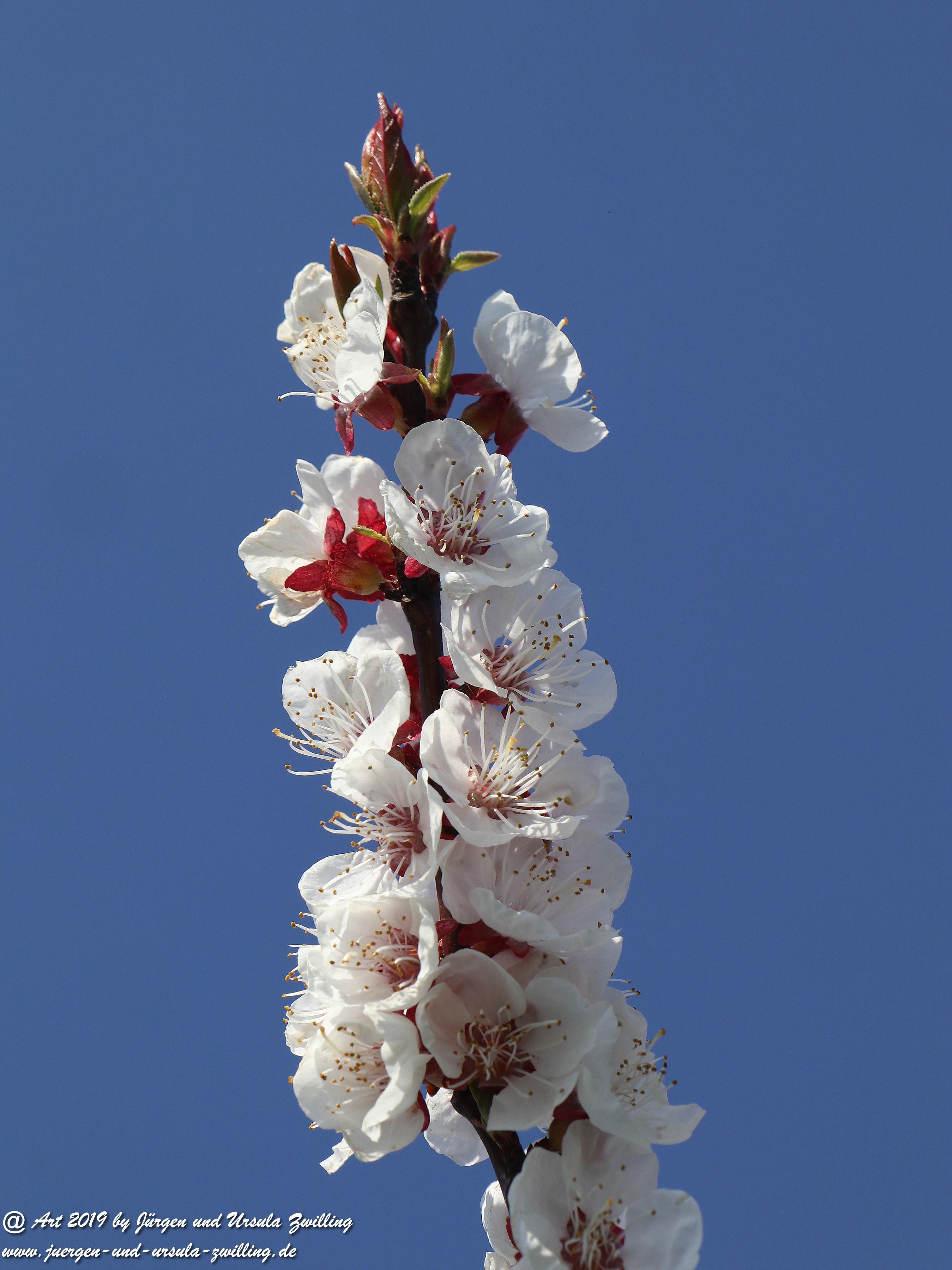 Aprikosenblüten 12