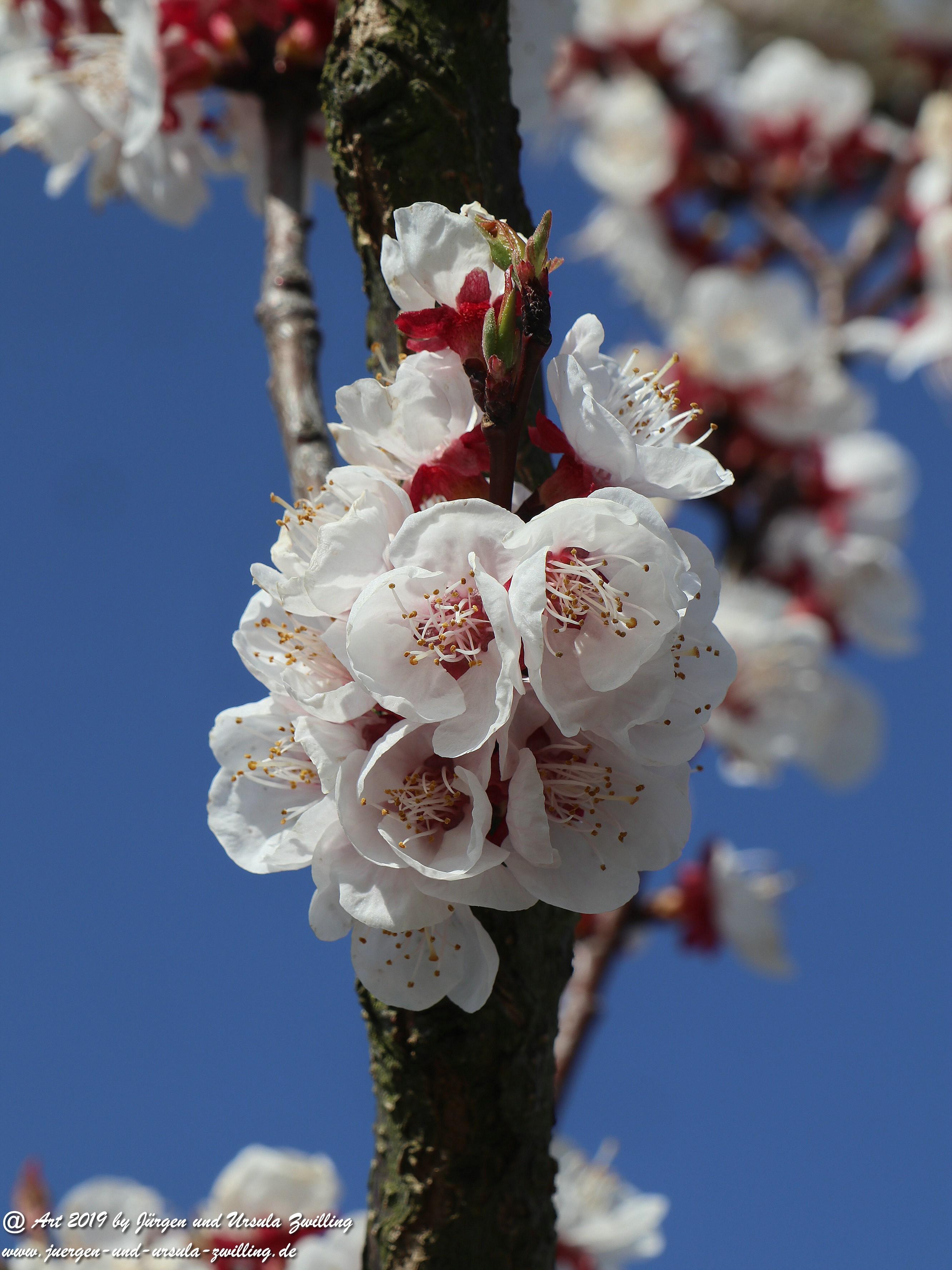 Aprikosenblüten 13