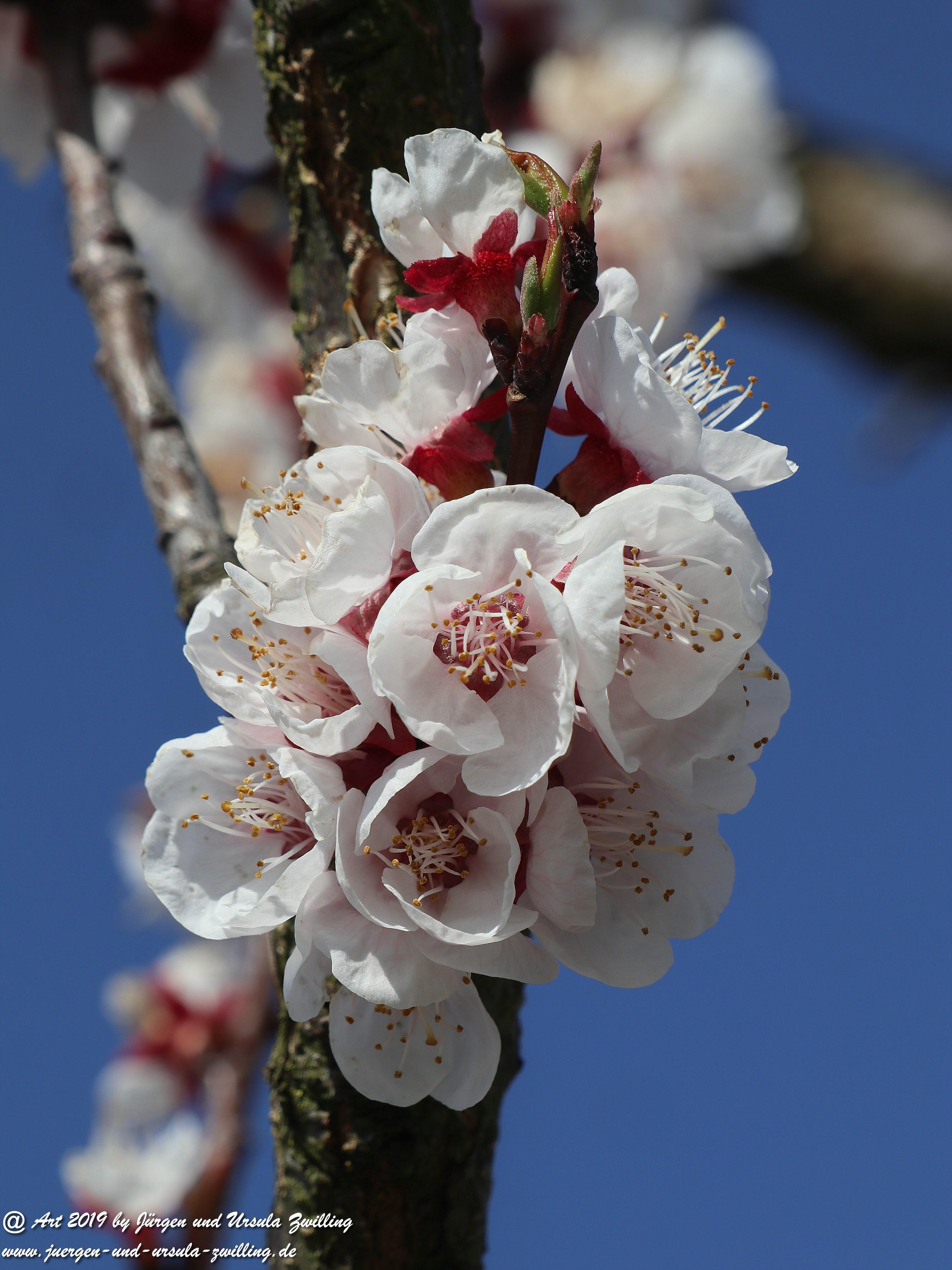 Aprikosenblüten 14