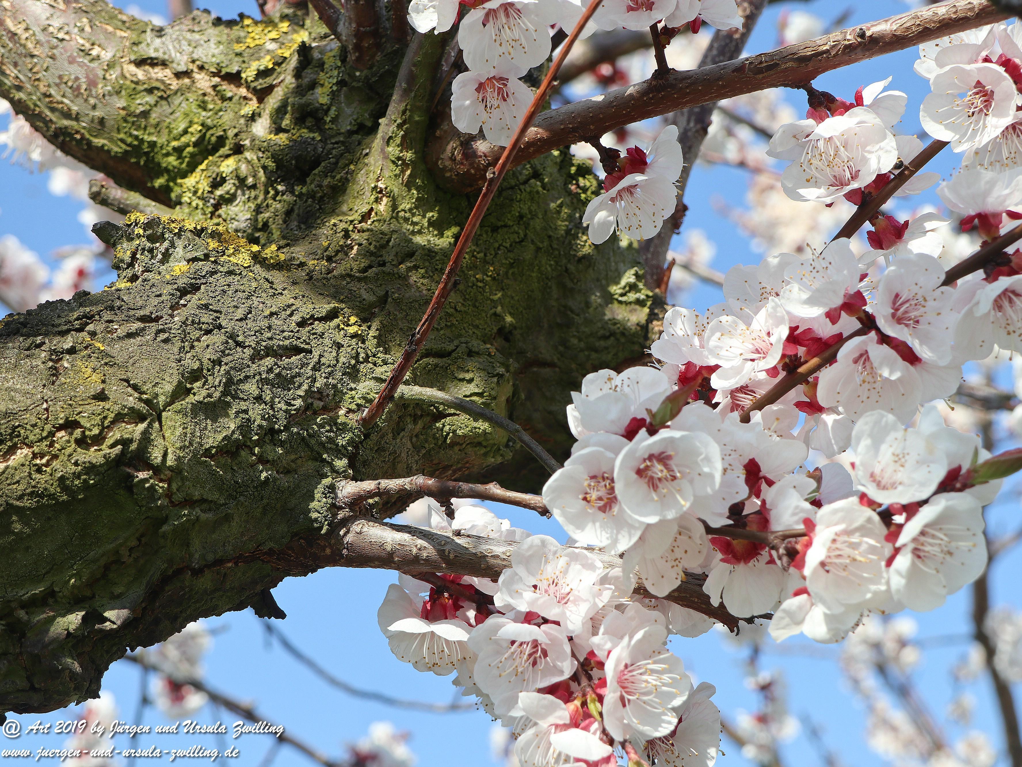 Aprikosenblüten 15