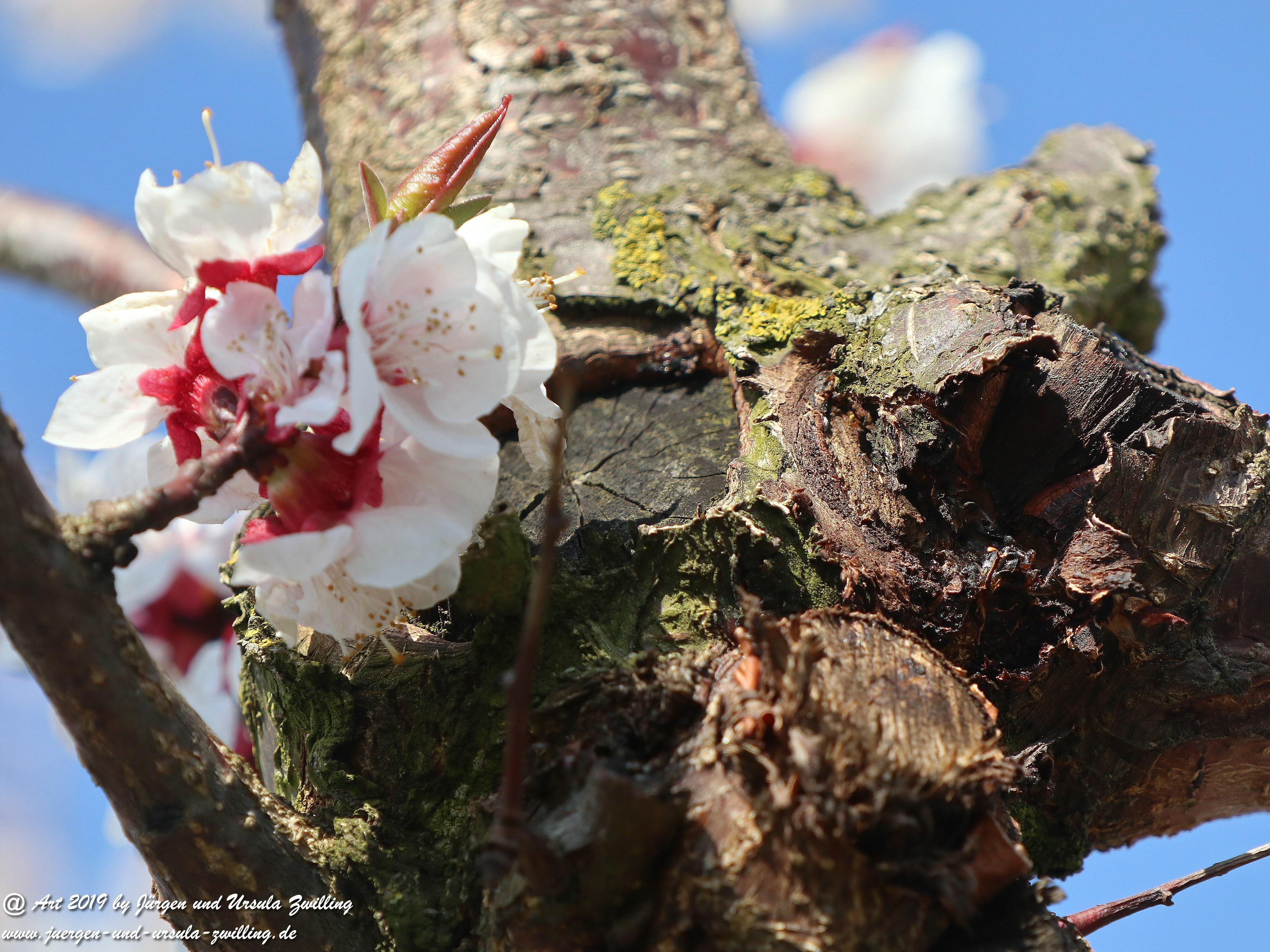 Aprikosenblüten 16