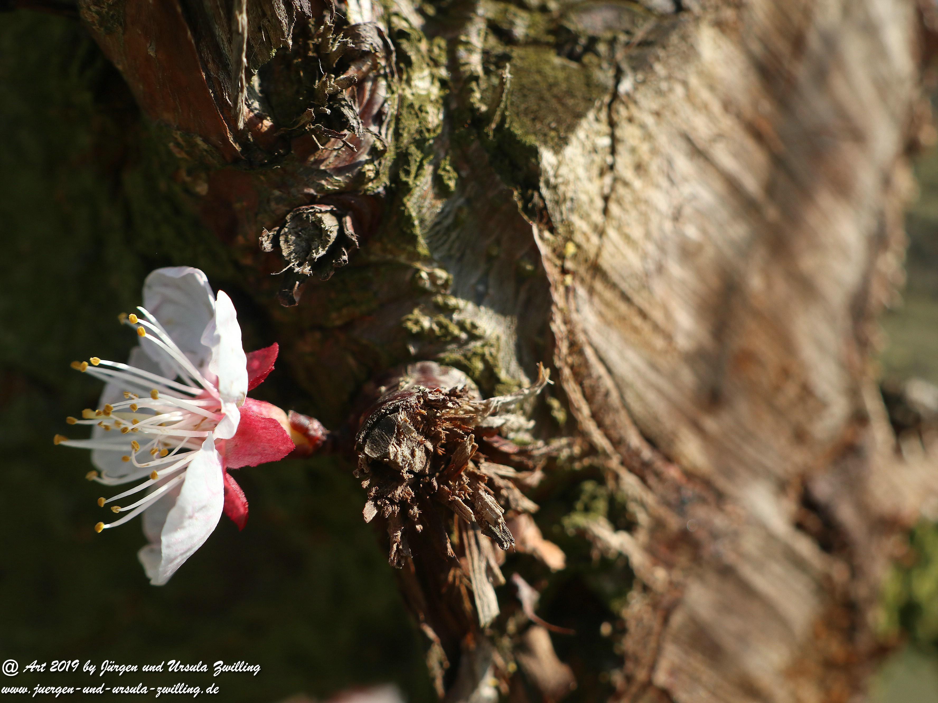 Aprikosenblüten 18