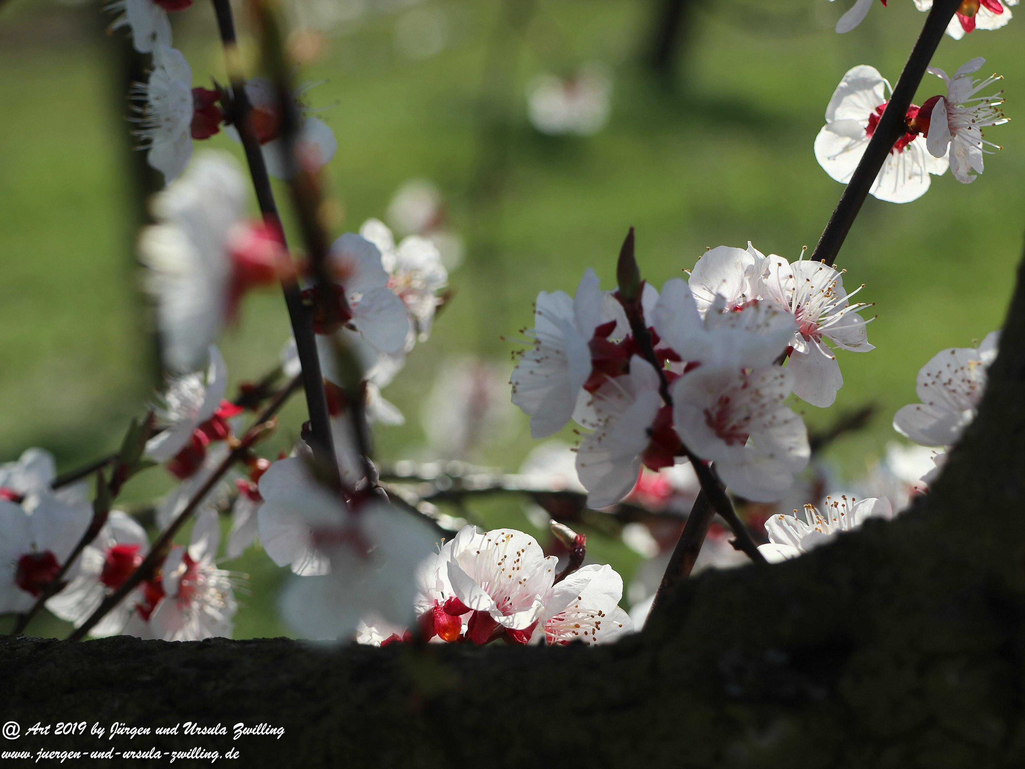 Aprikosenblüten 19