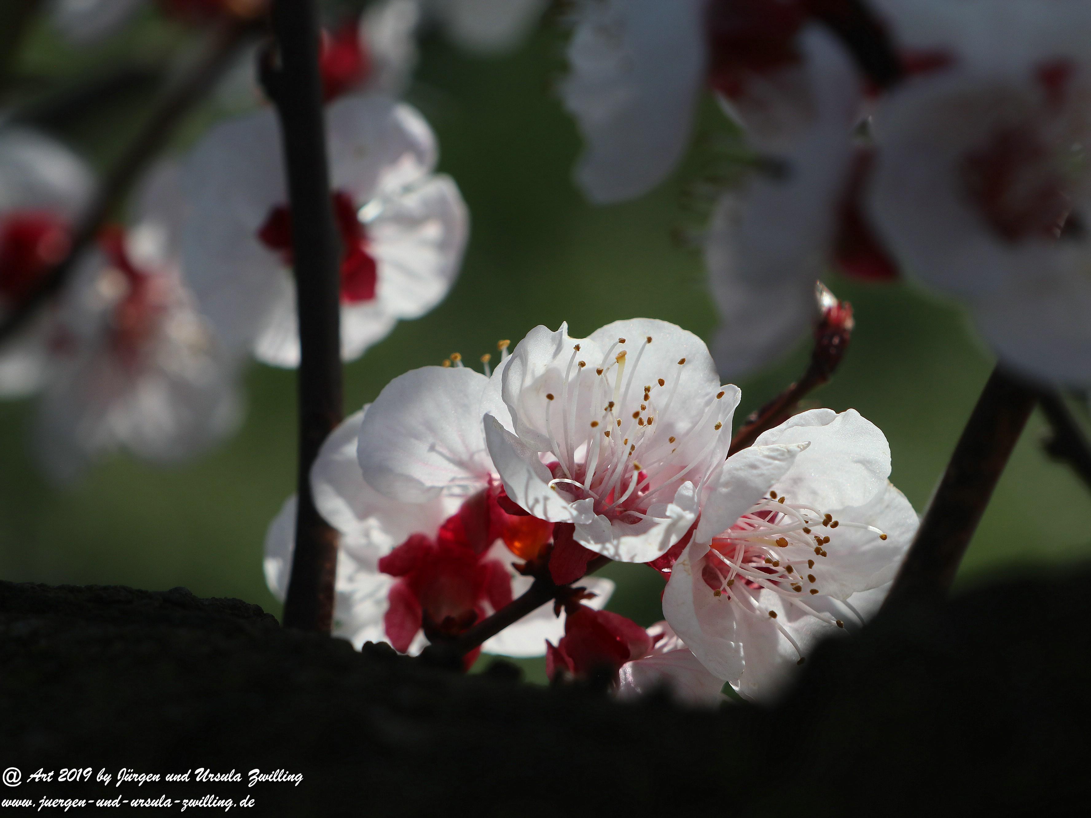 Aprikosenblüten 20