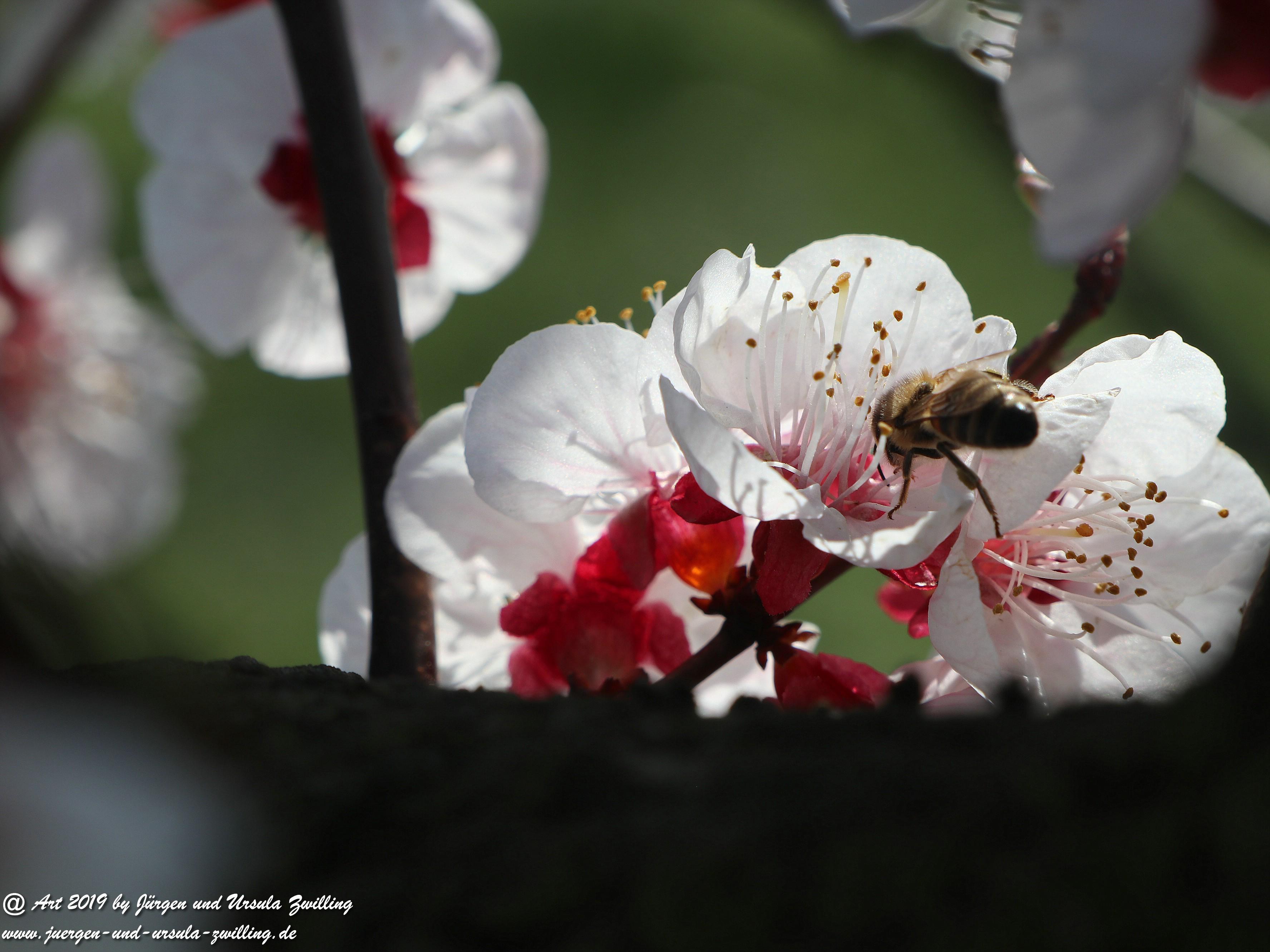 Aprikosenblüten 21