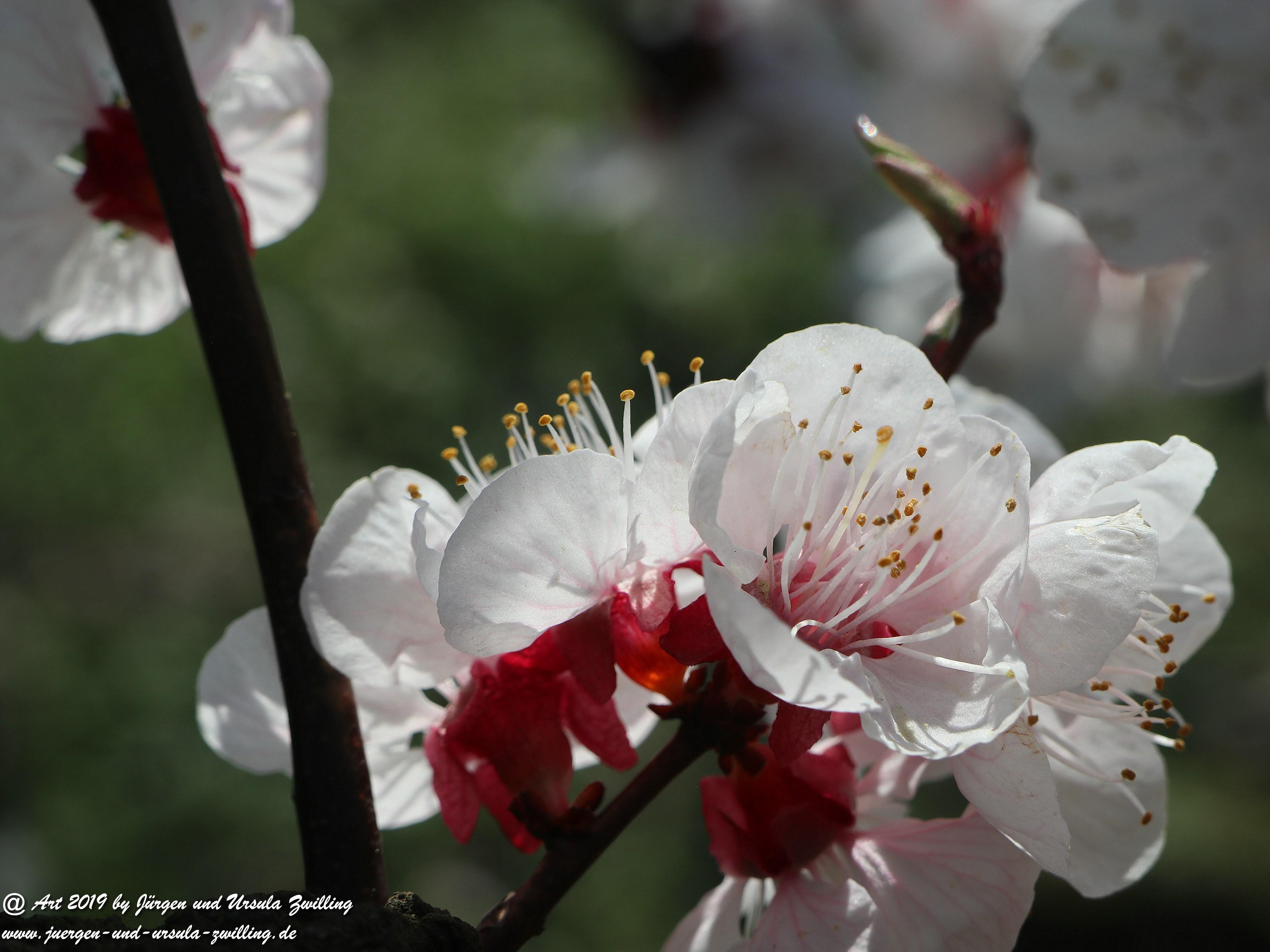Aprikosenblüten 22
