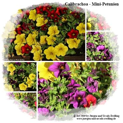 Calibrachoa - Mini-Petunien