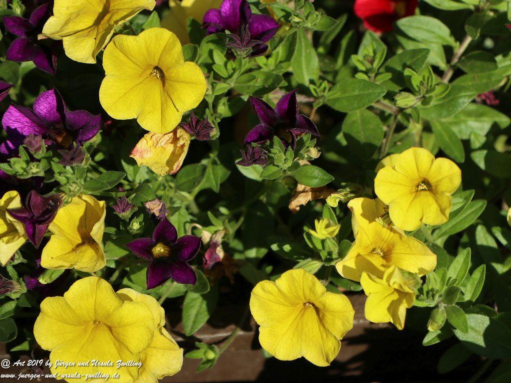 Calibrachoa - Mini-Petunien