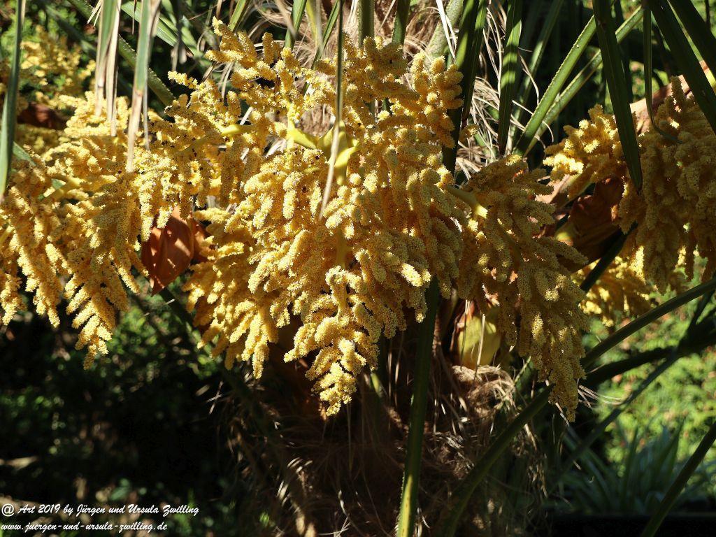 Blüten der Dattelpalme