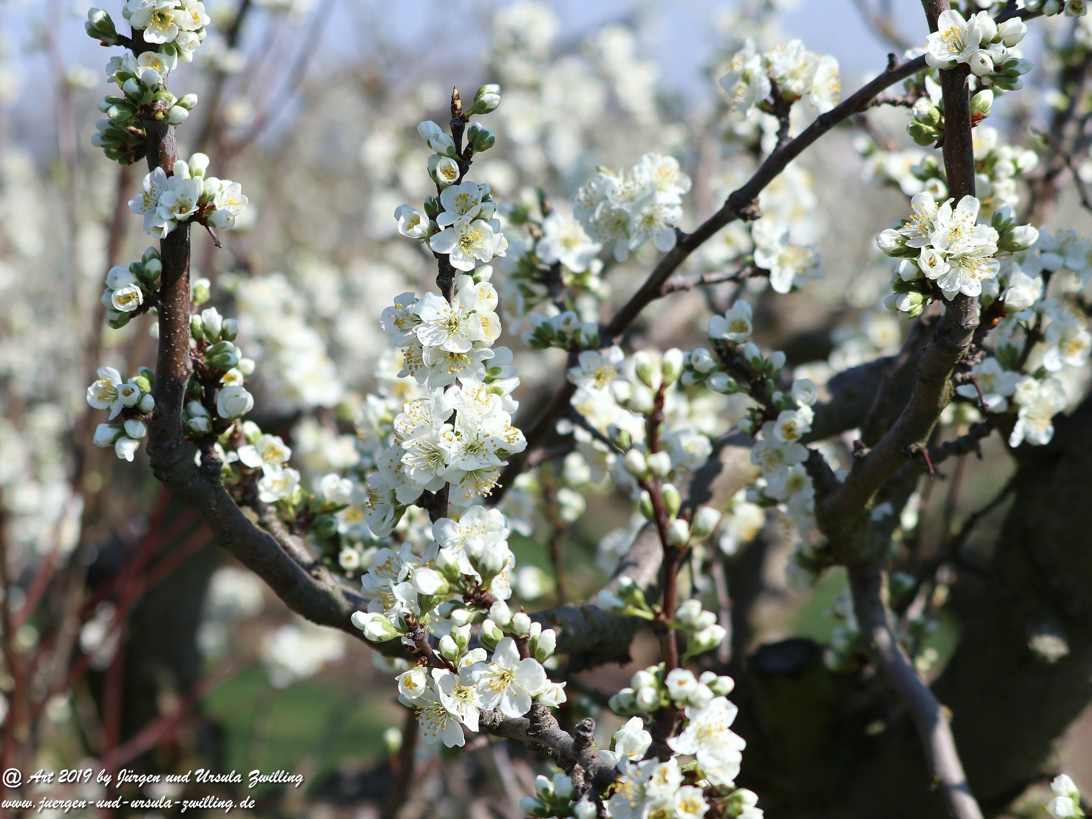 Pflaumenbaumblüte 1