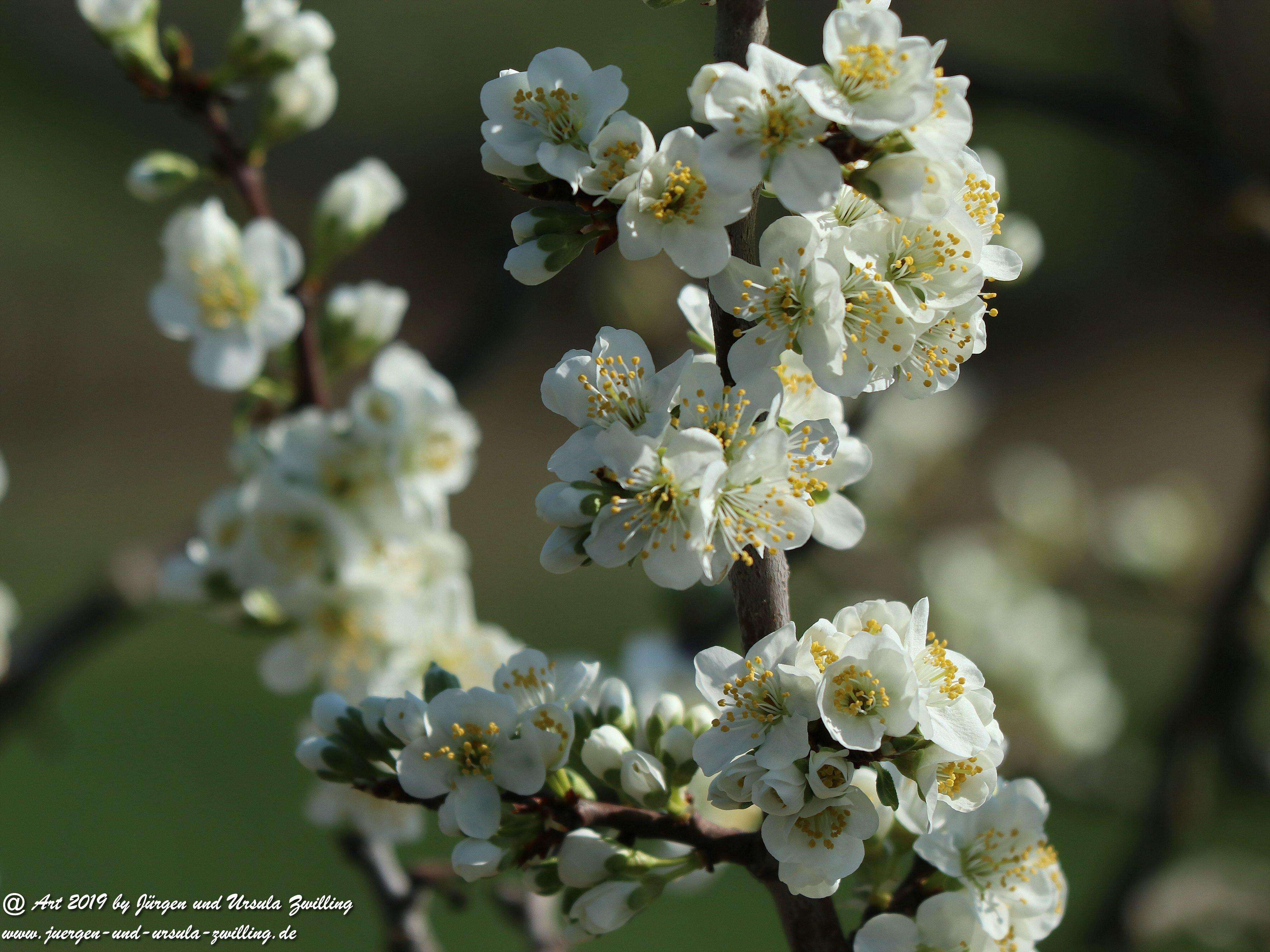 Pflaumenbaumblüte 3