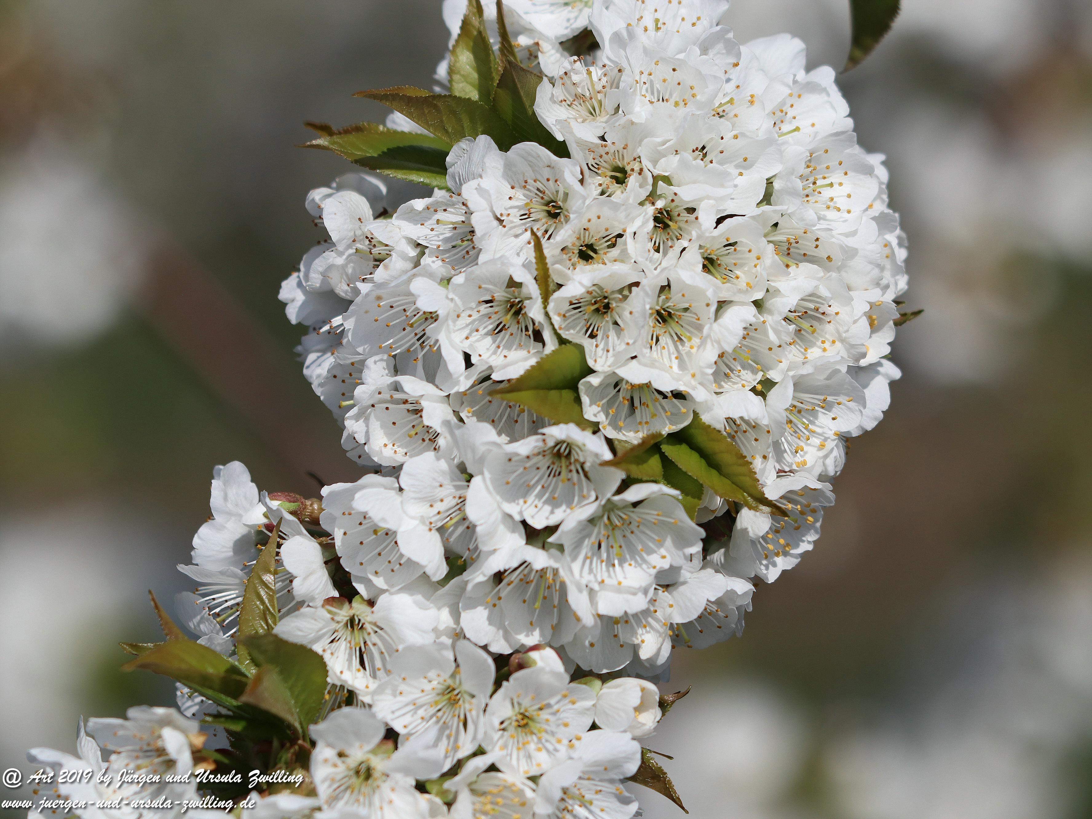 Kirschbaumblüte 1