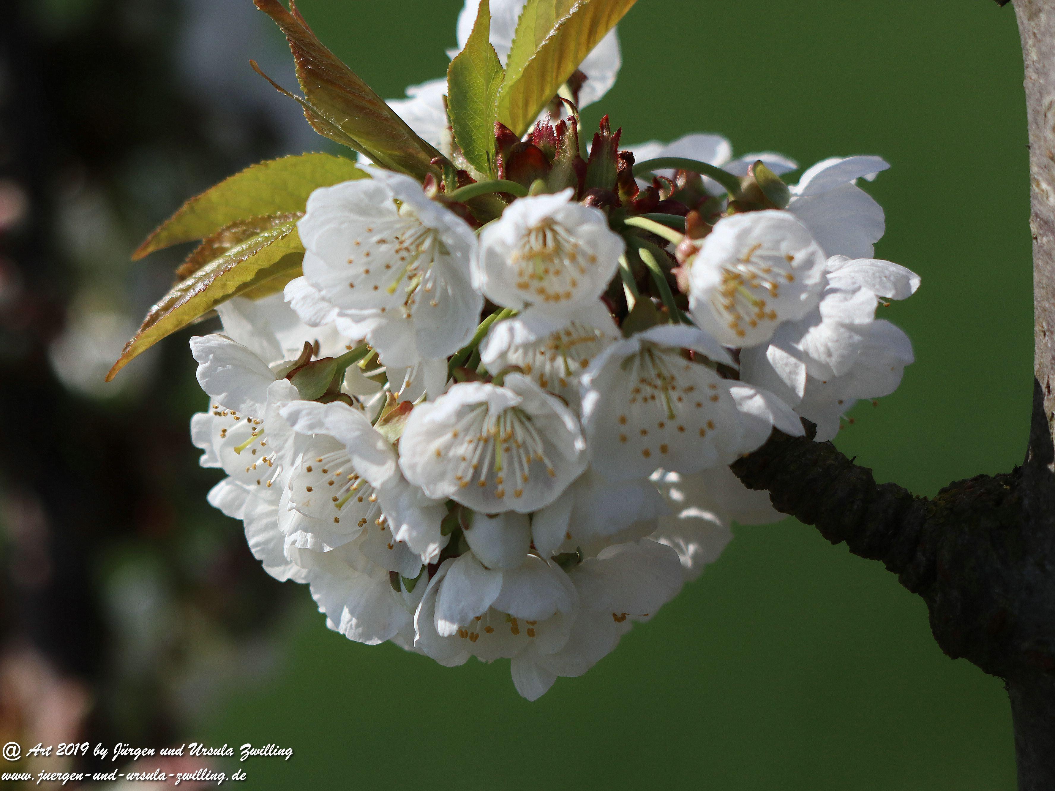 Kirschbaumblüte 3