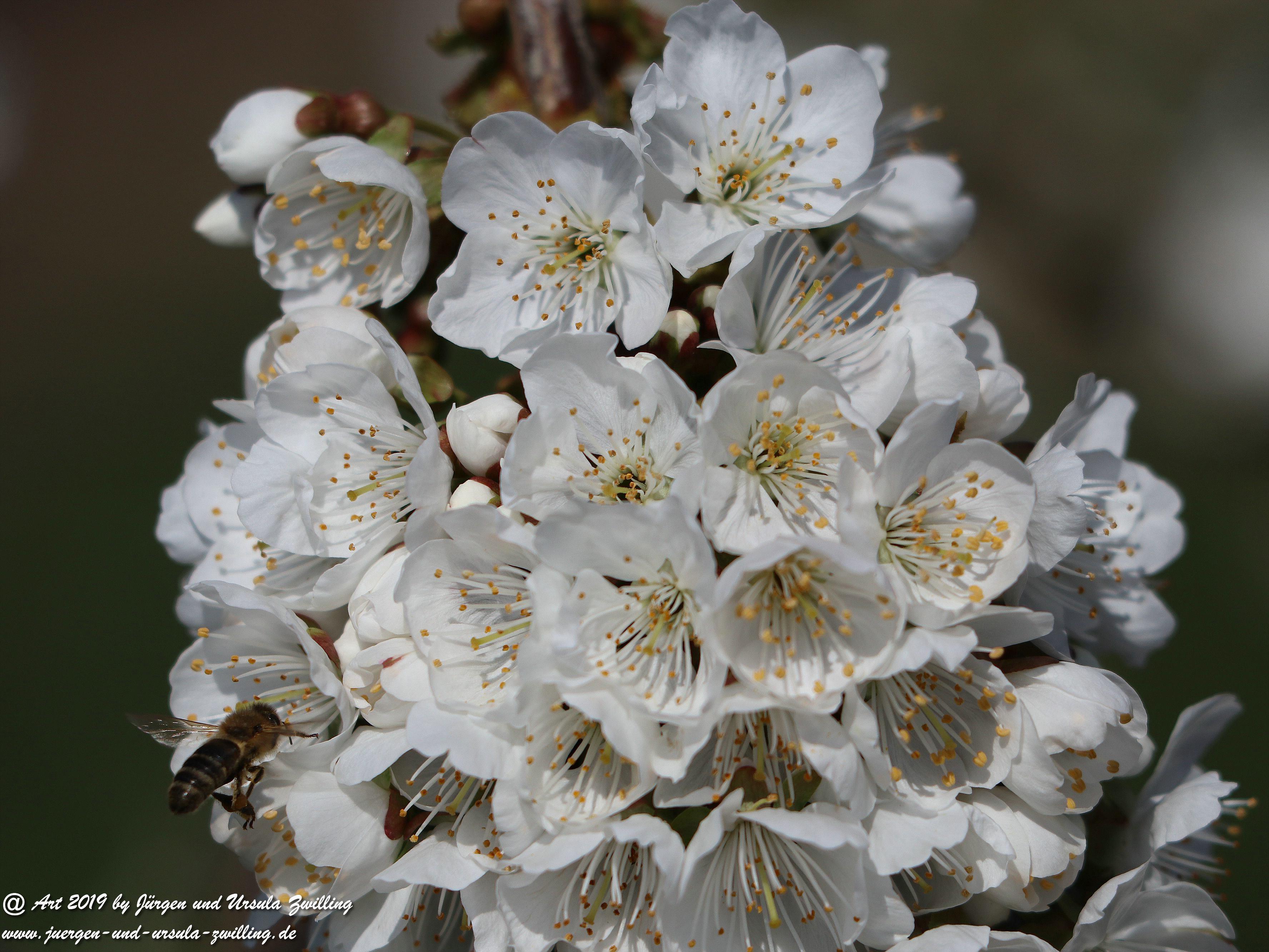 Kirschbaumblüte 4