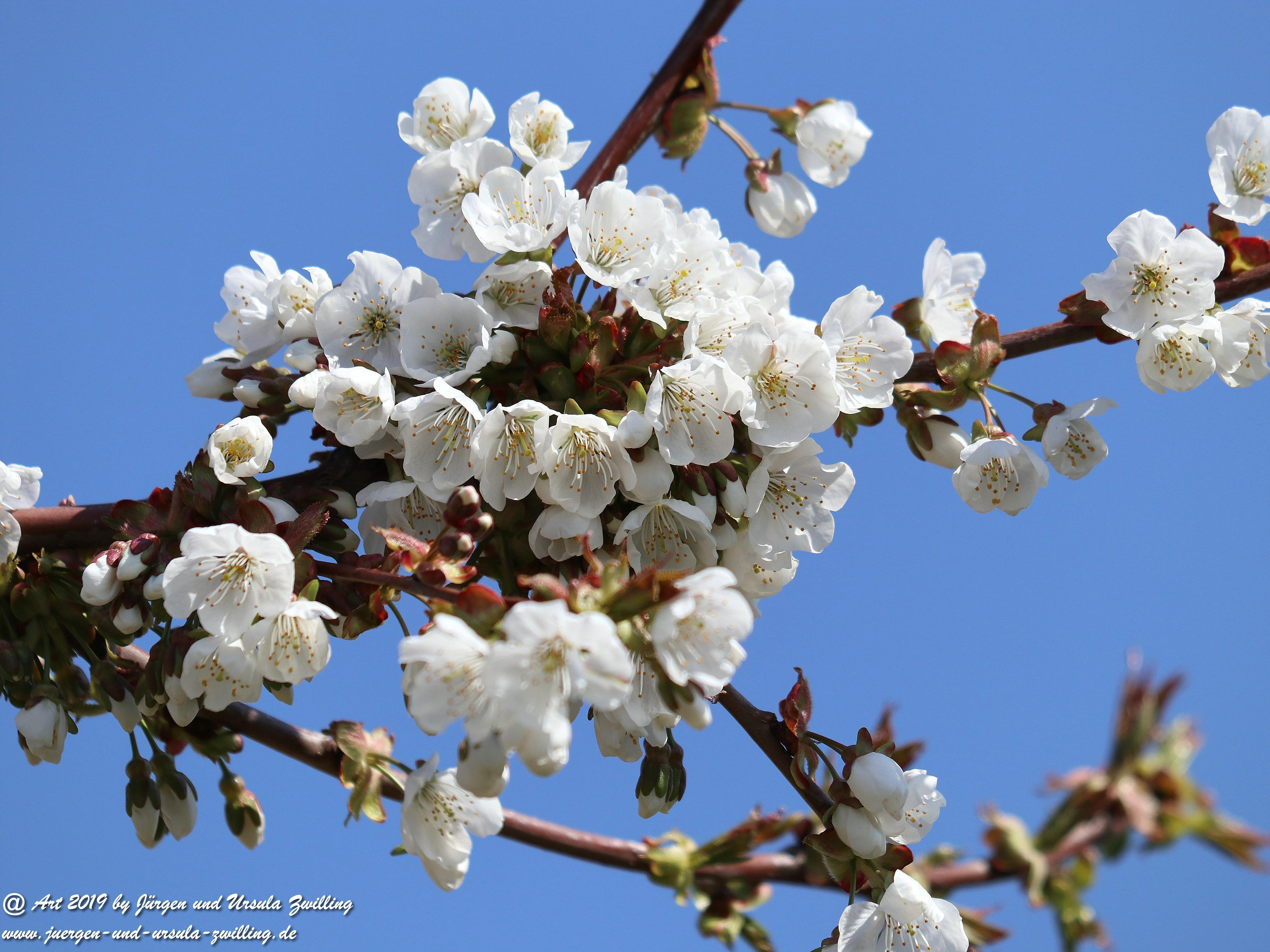 Kirschbaumblüte 6