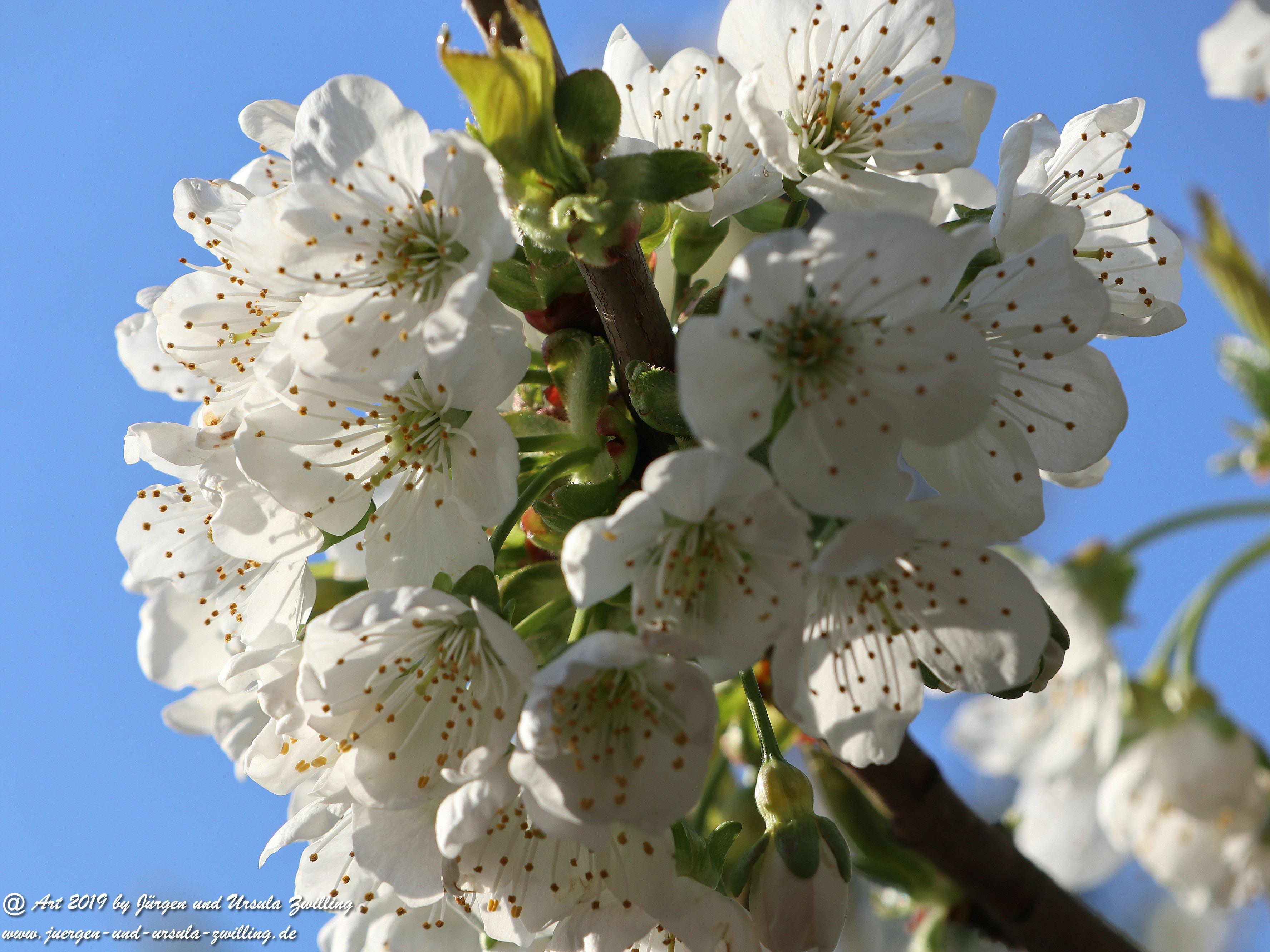Kirschbaumblüte im Garten 1