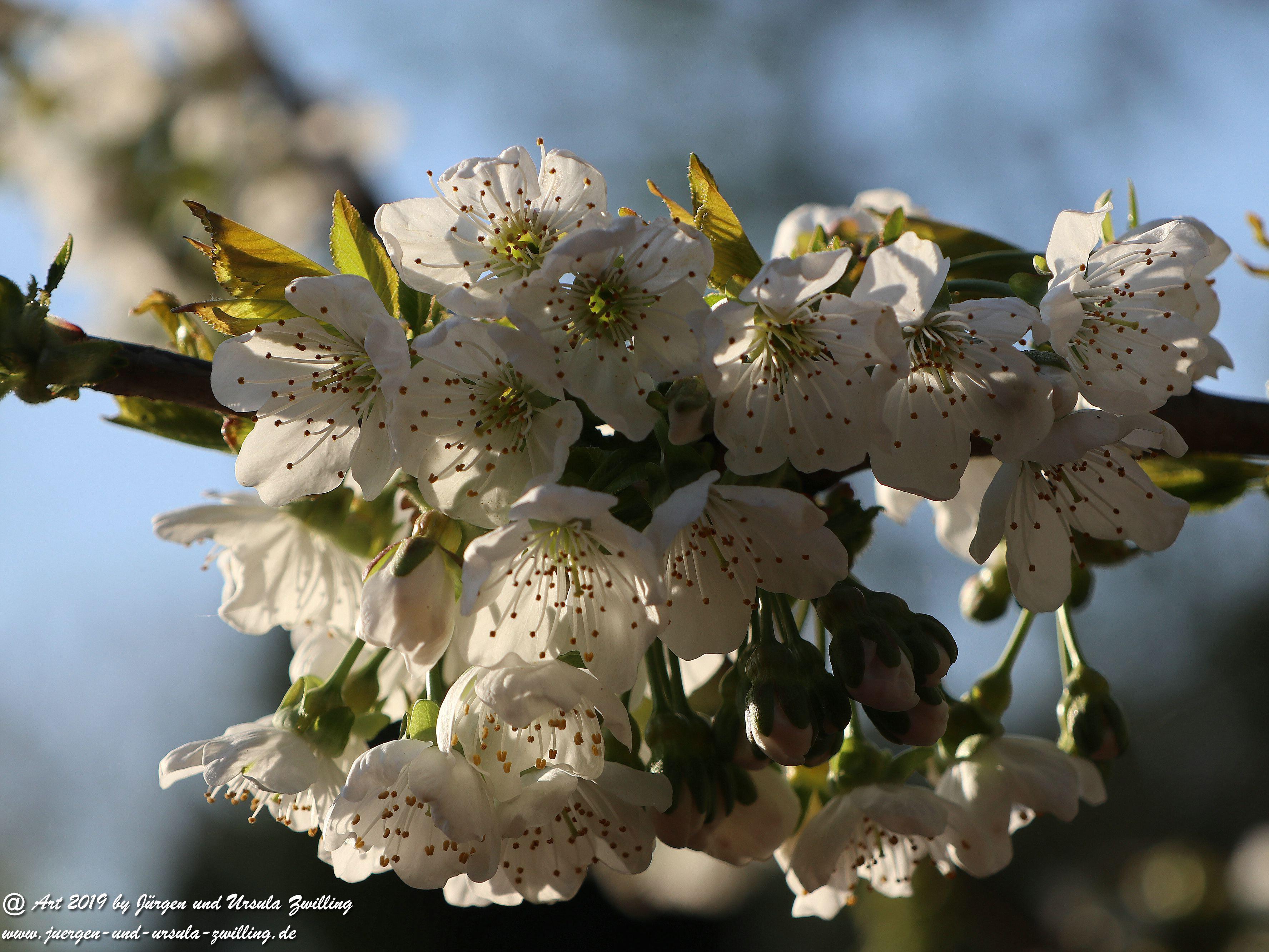 Kirschbaumblüte im Garten 2
