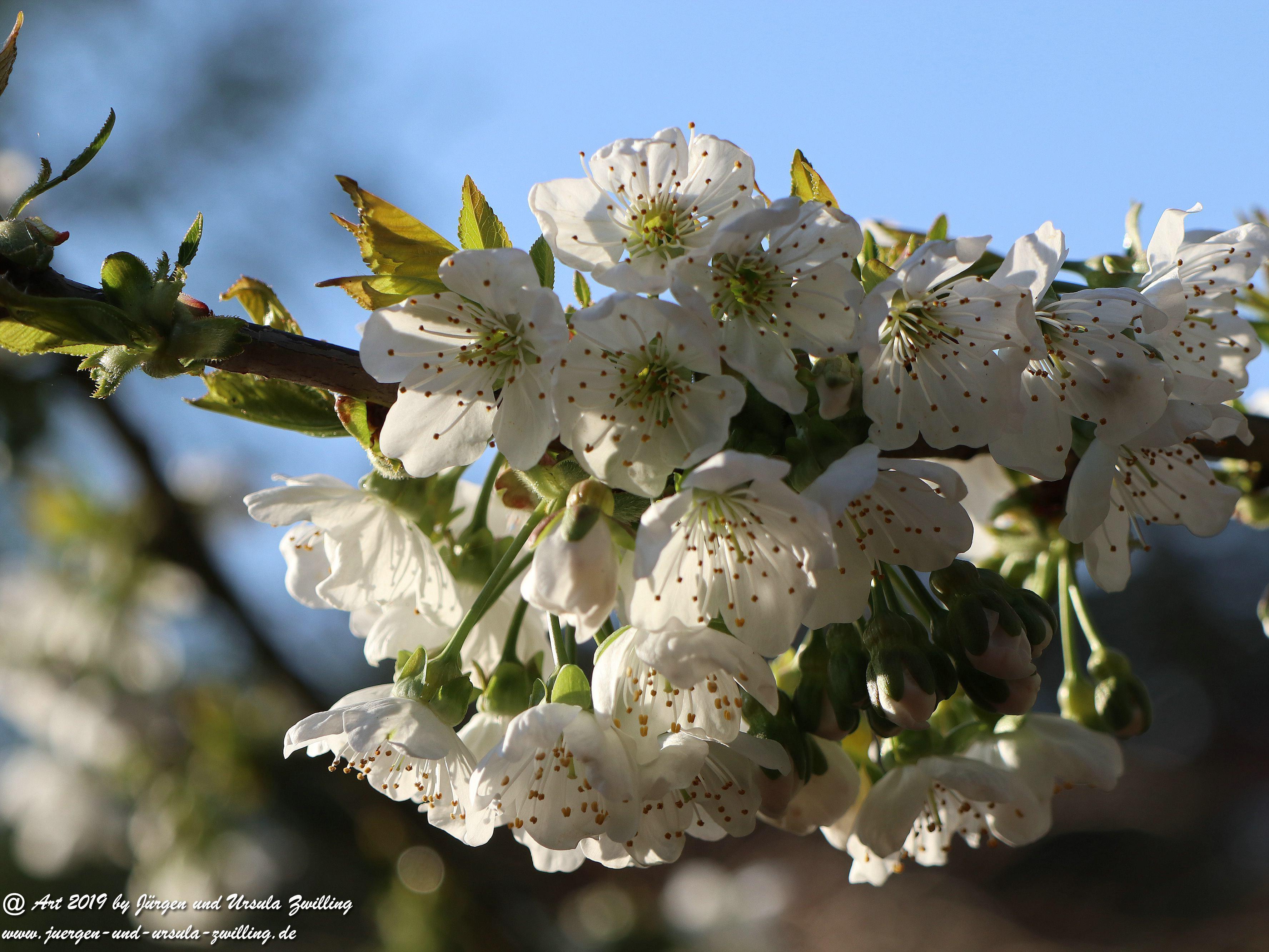 Kirschbaumblüte im Garten 3