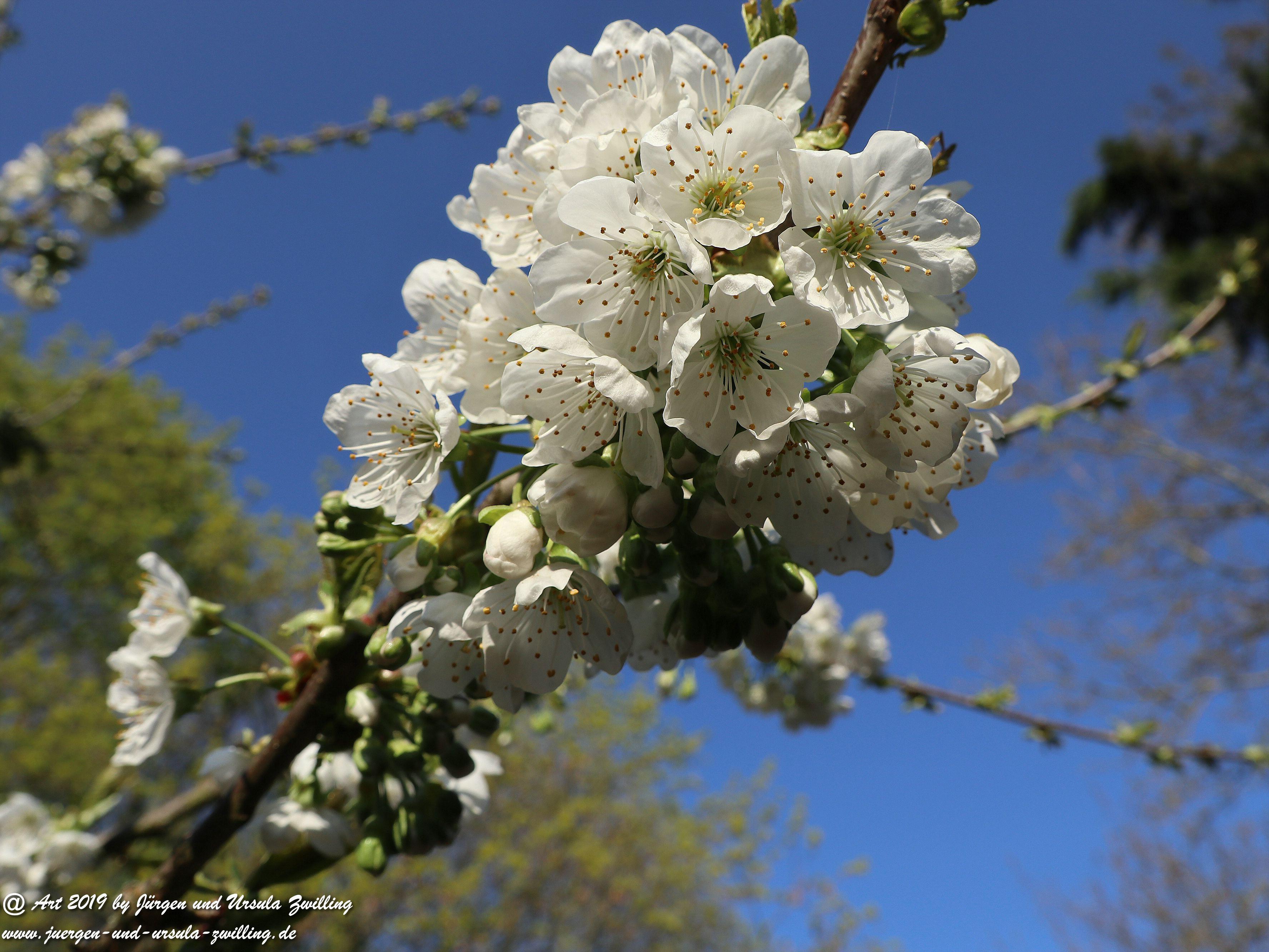 Kirschbaumblüte im Garten 4