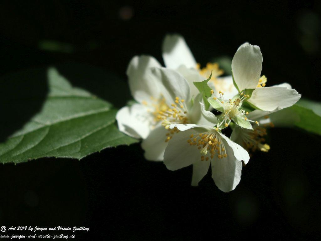 Bauernjasmin, Pfeifenstrauch -Philadelphus coronarius
