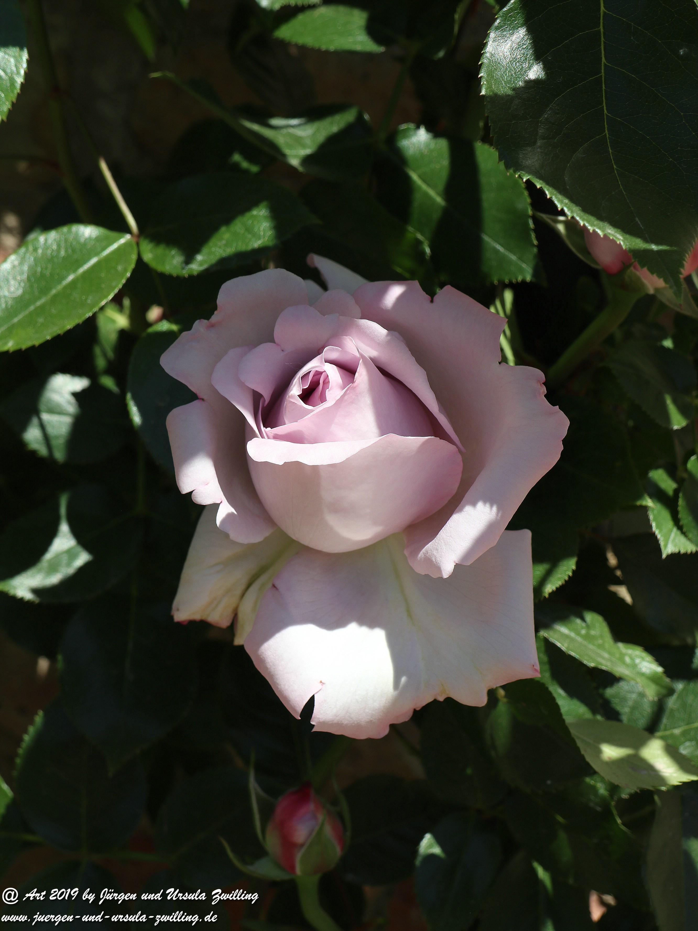 Rosen 15