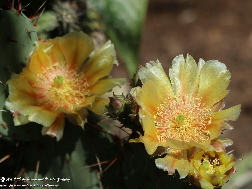 Blühender Feigen- kaktus Opuntia